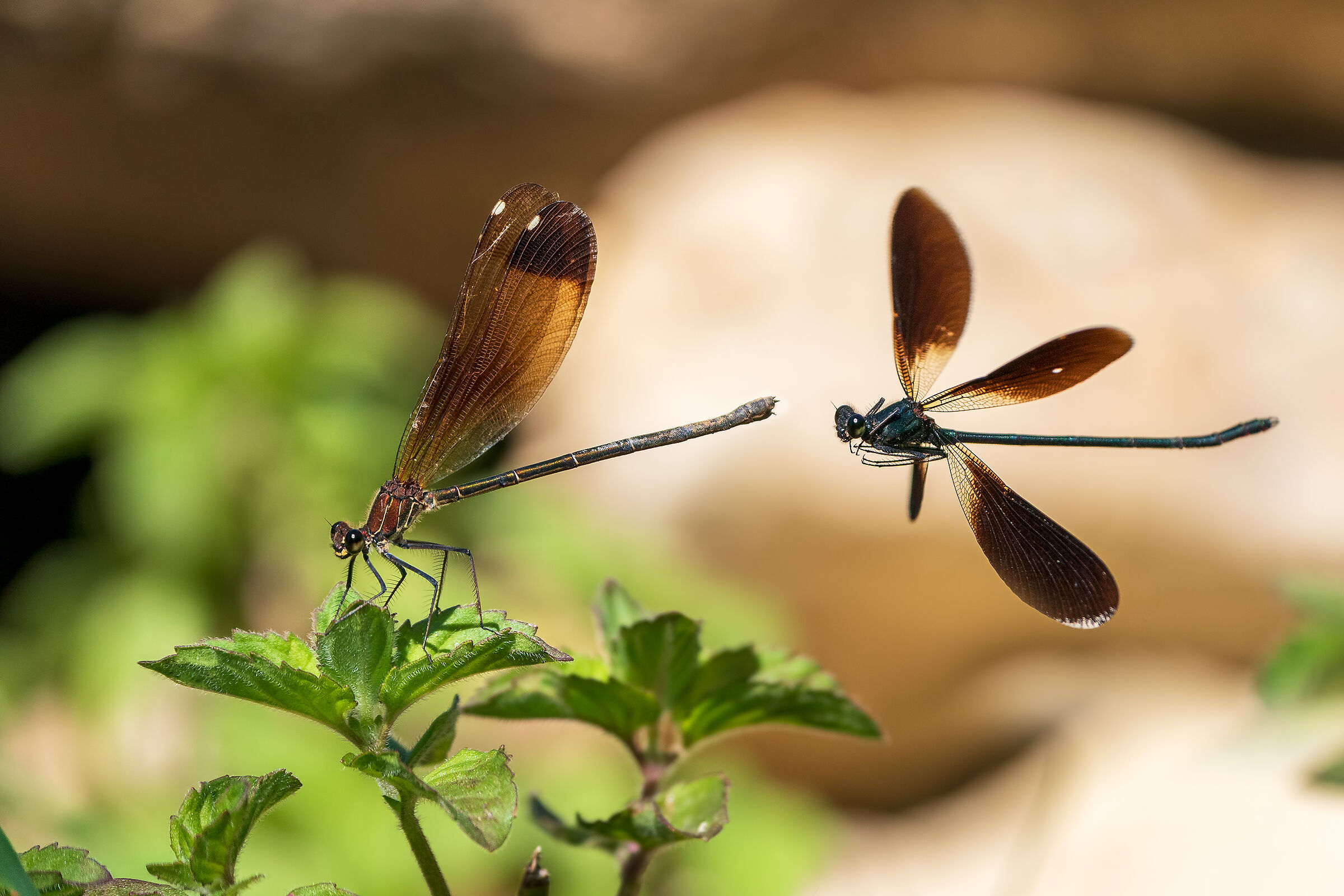 The courtship of false dragonflies...