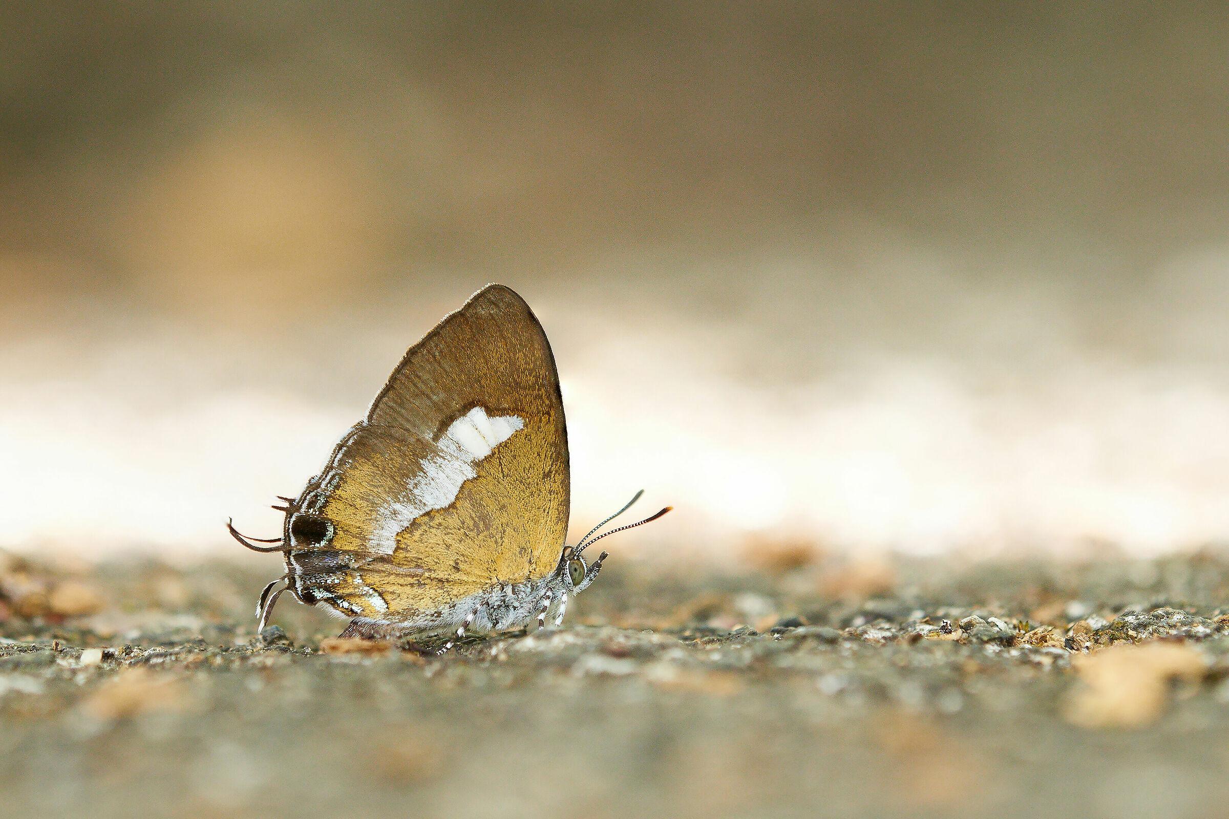 Golden wing...