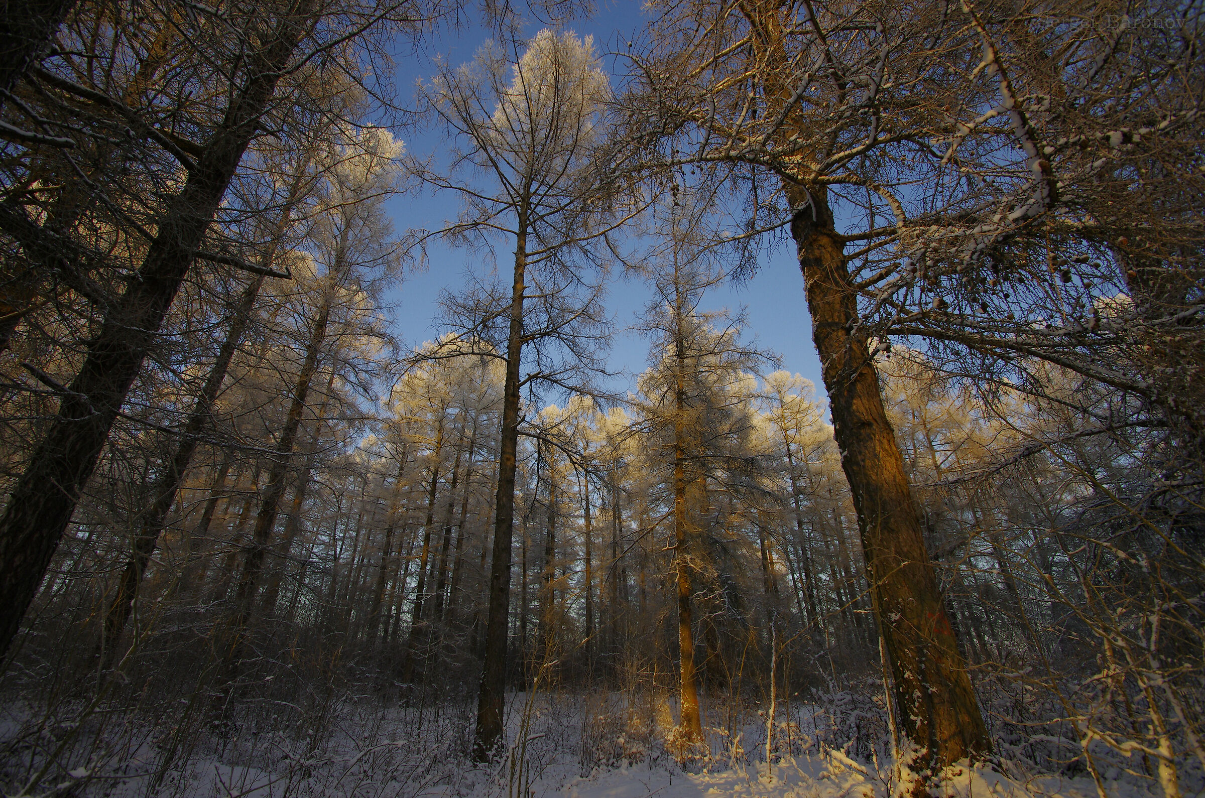 Age-old pine trees Petrovsky Grove...