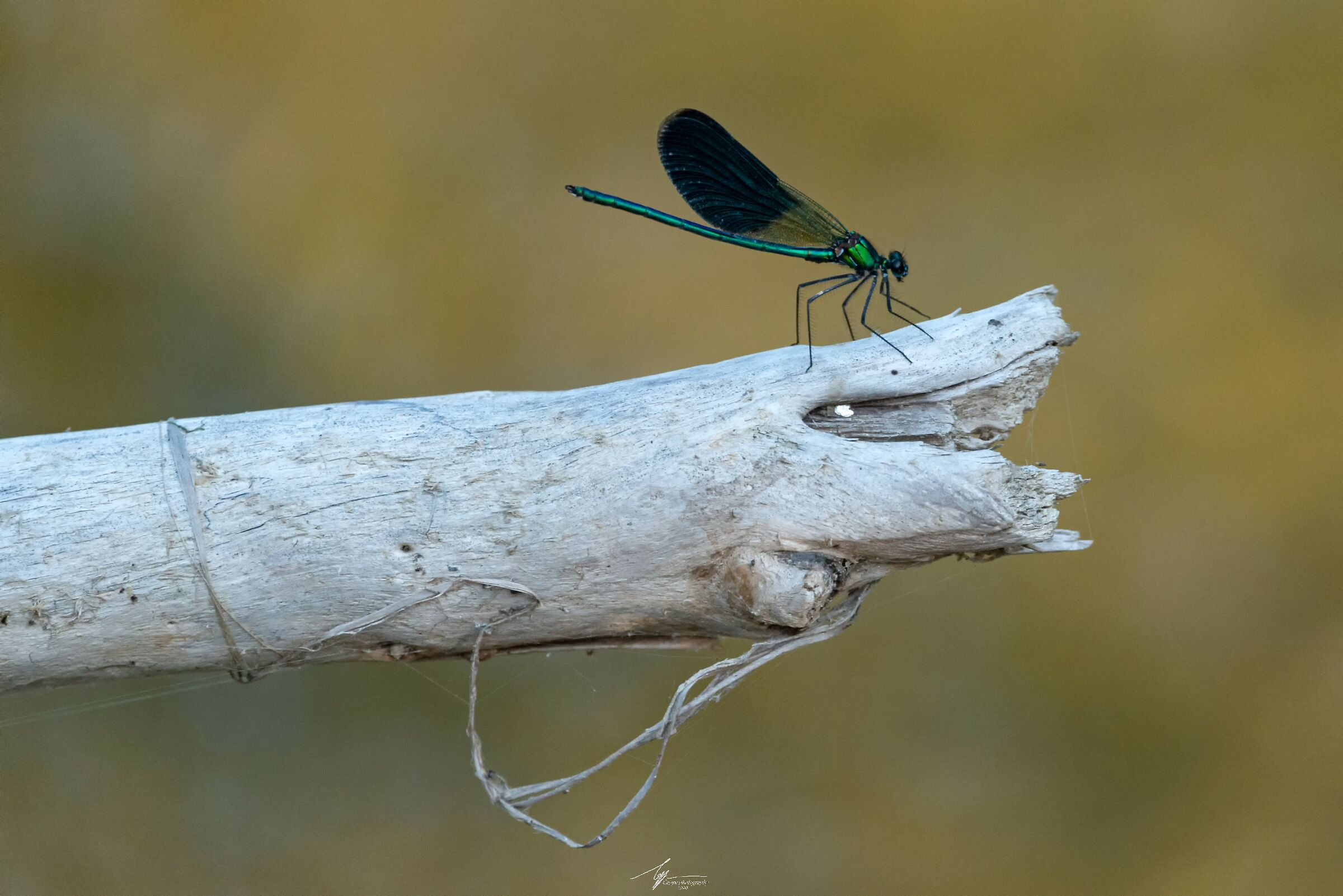 Calopteryx shines...