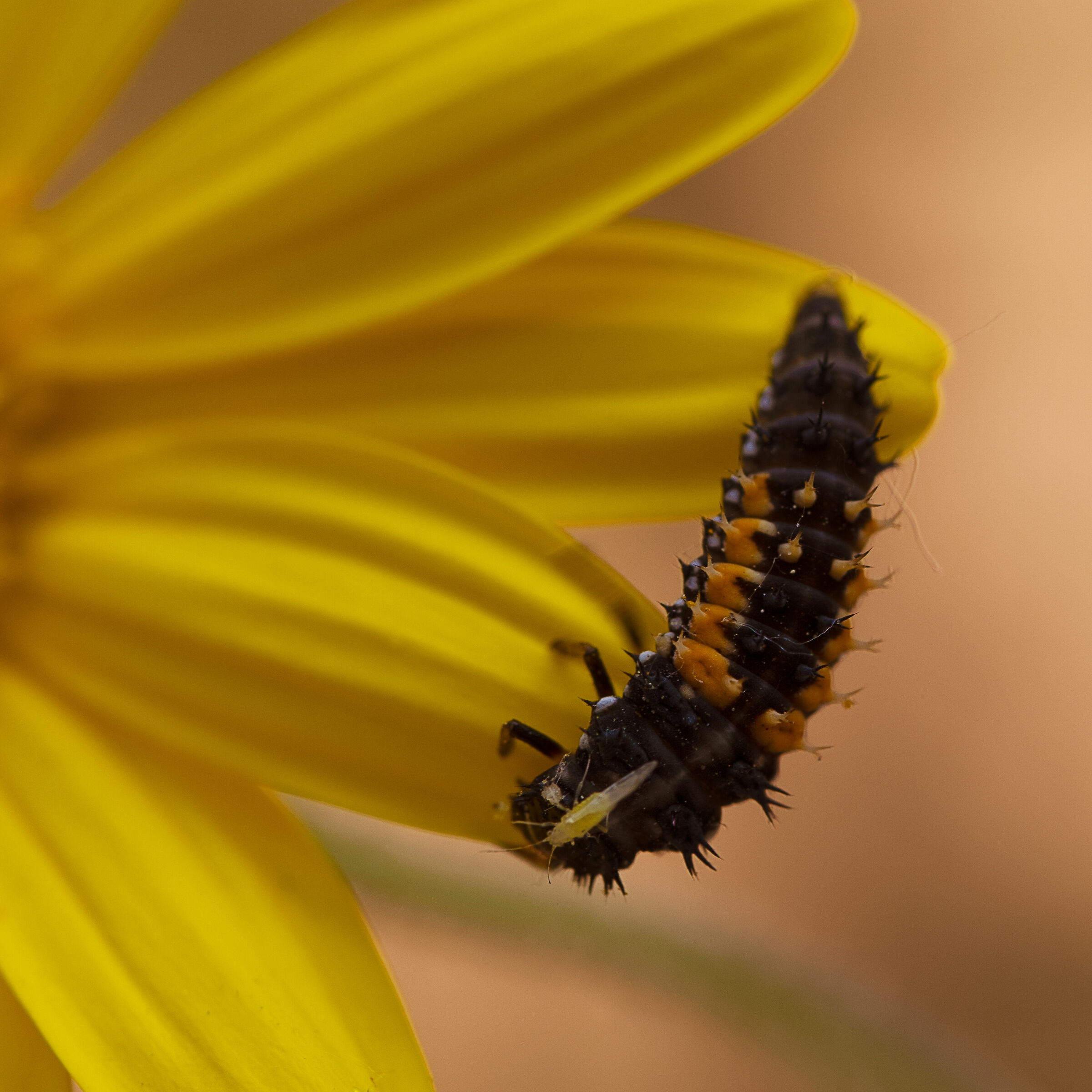 Head crickets...