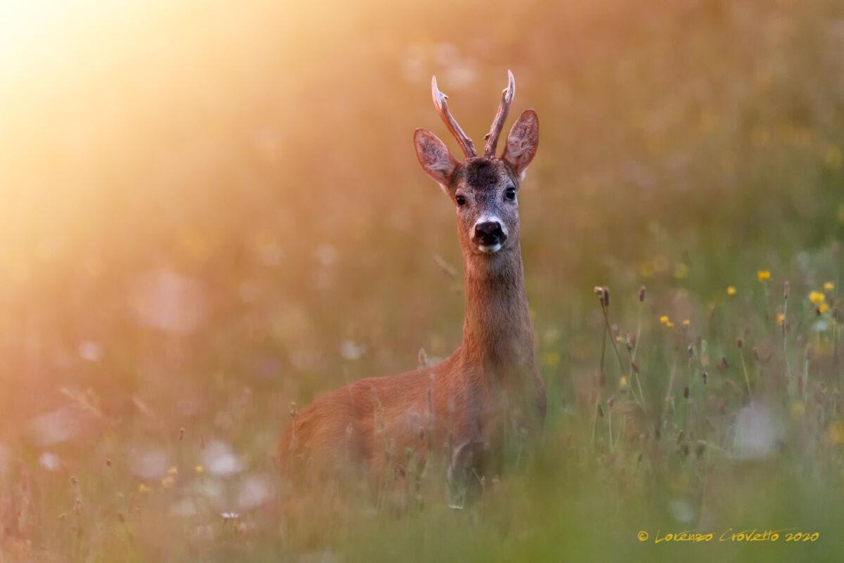 The August Roe Deer...