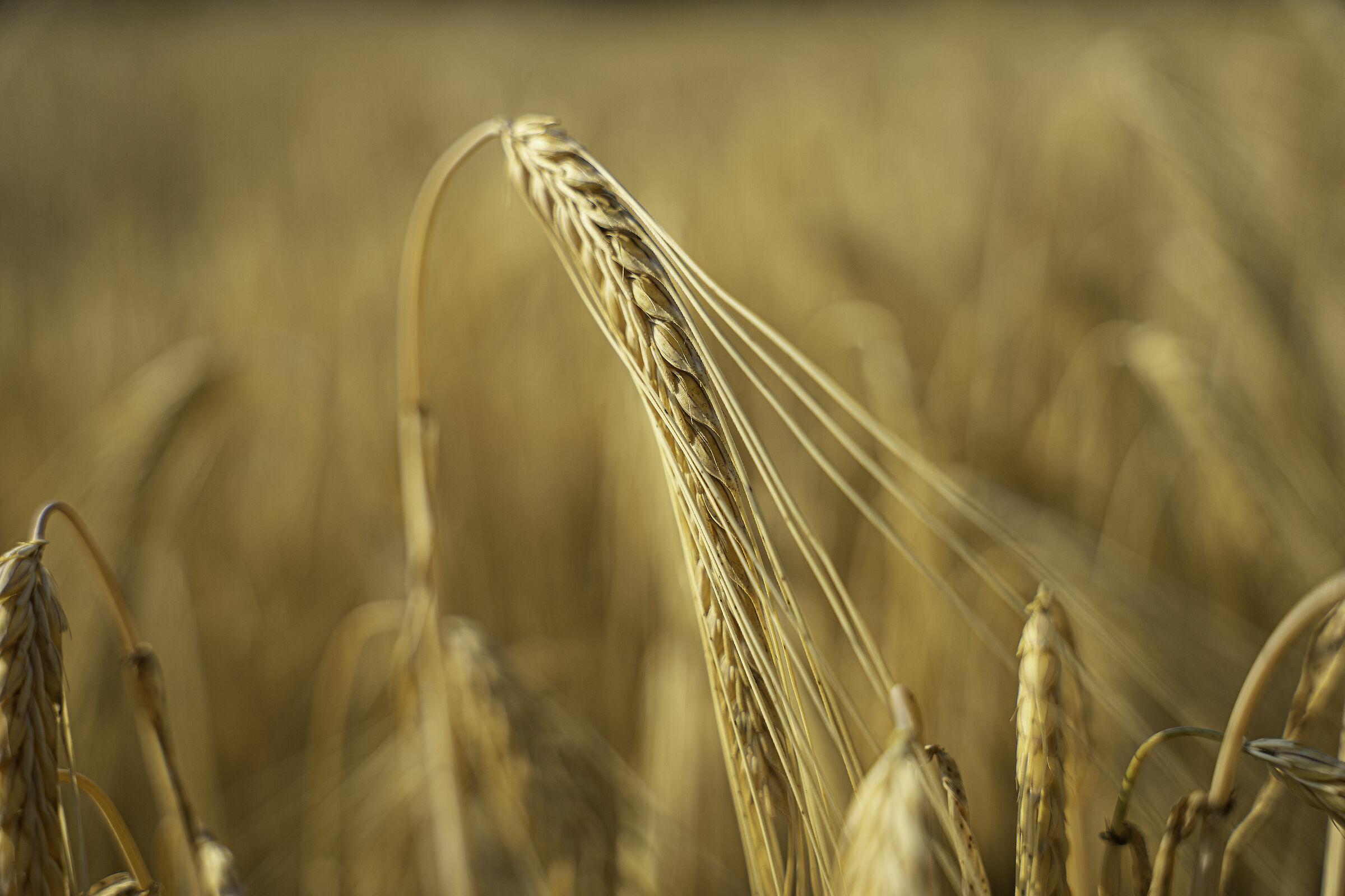 simple complexity (full ripe grain)...