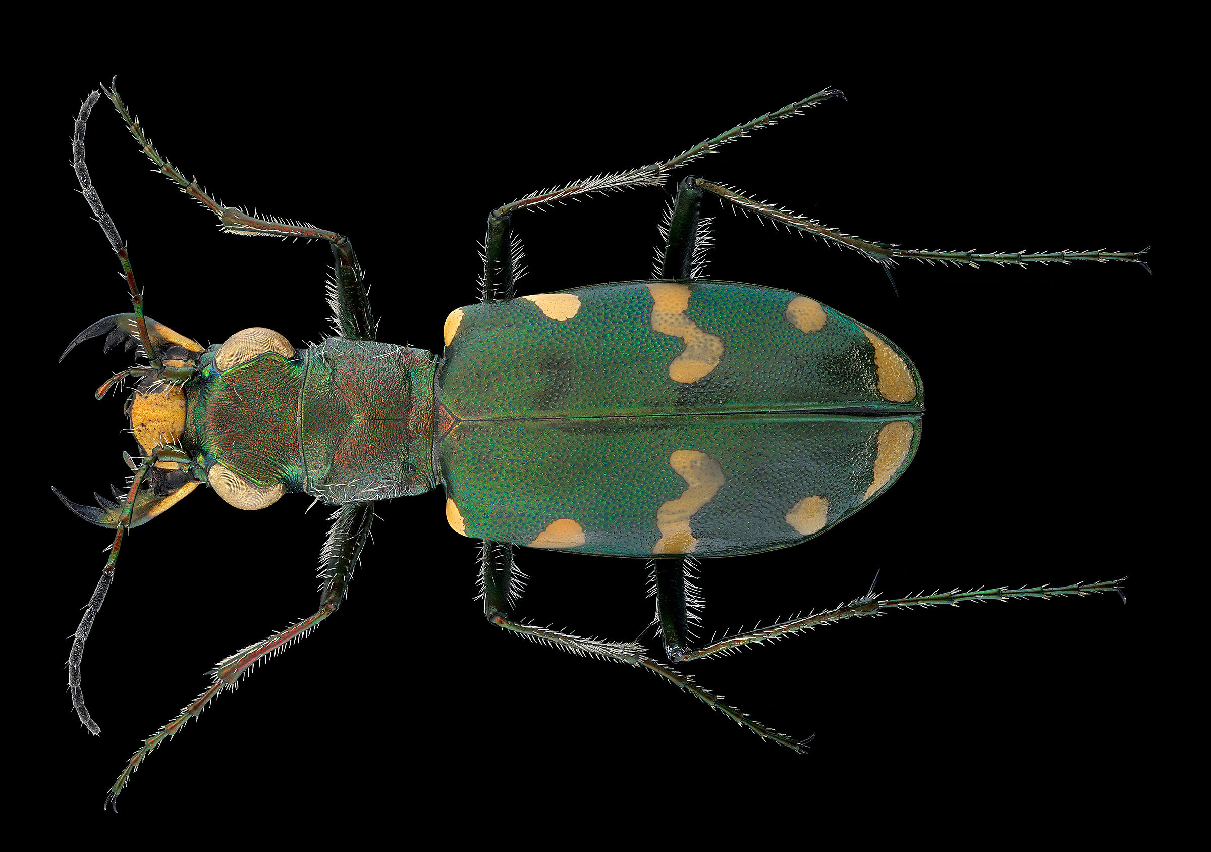 Gallic Cicindela...