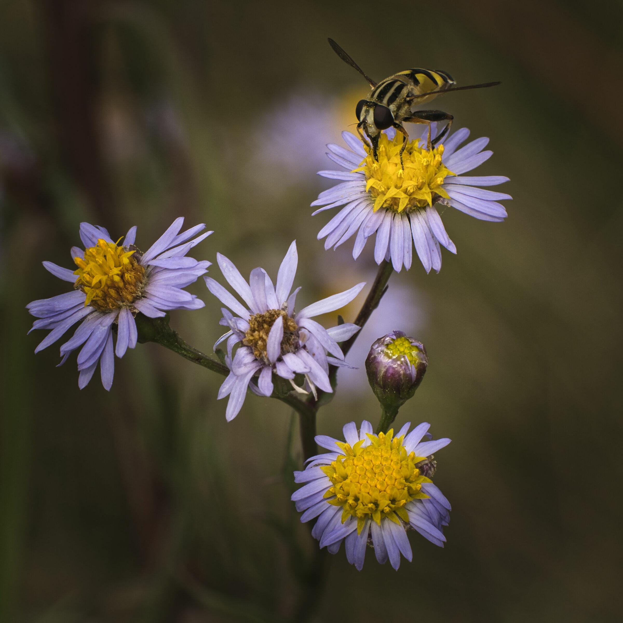 Aster tripolium subsp. pannonicus...
