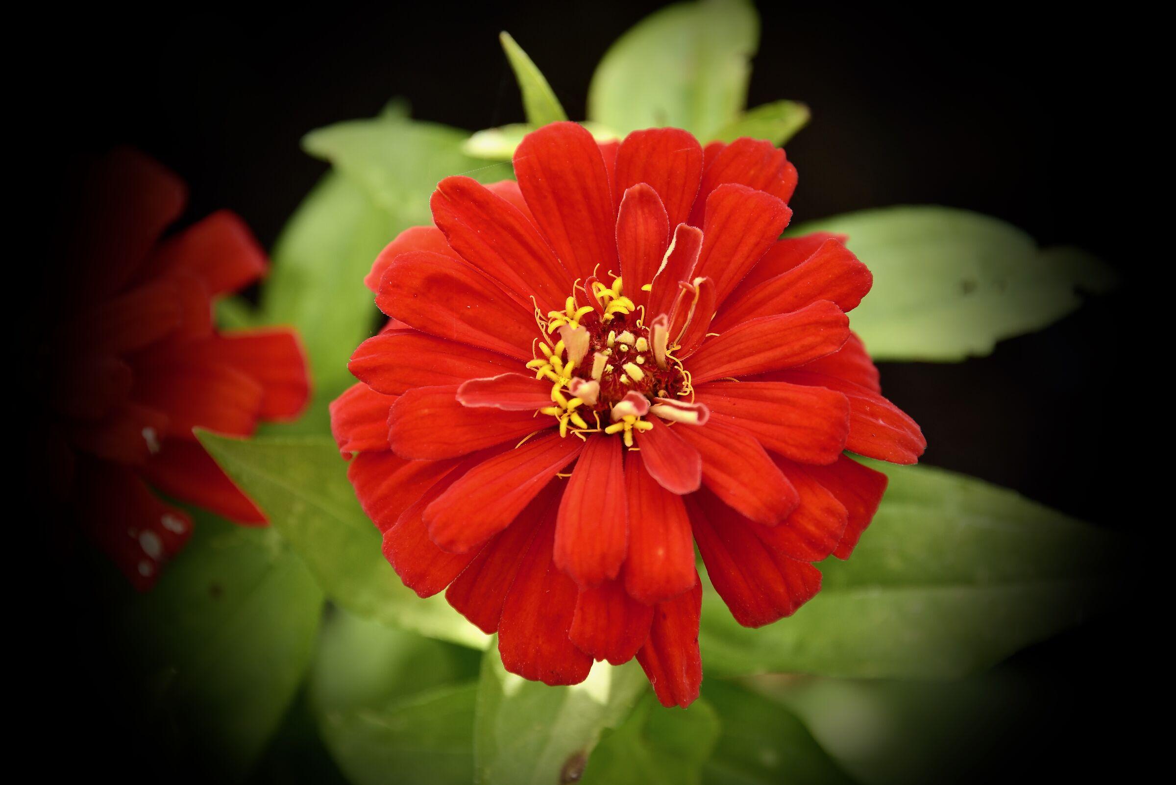 Flower red - Macro - my garden......
