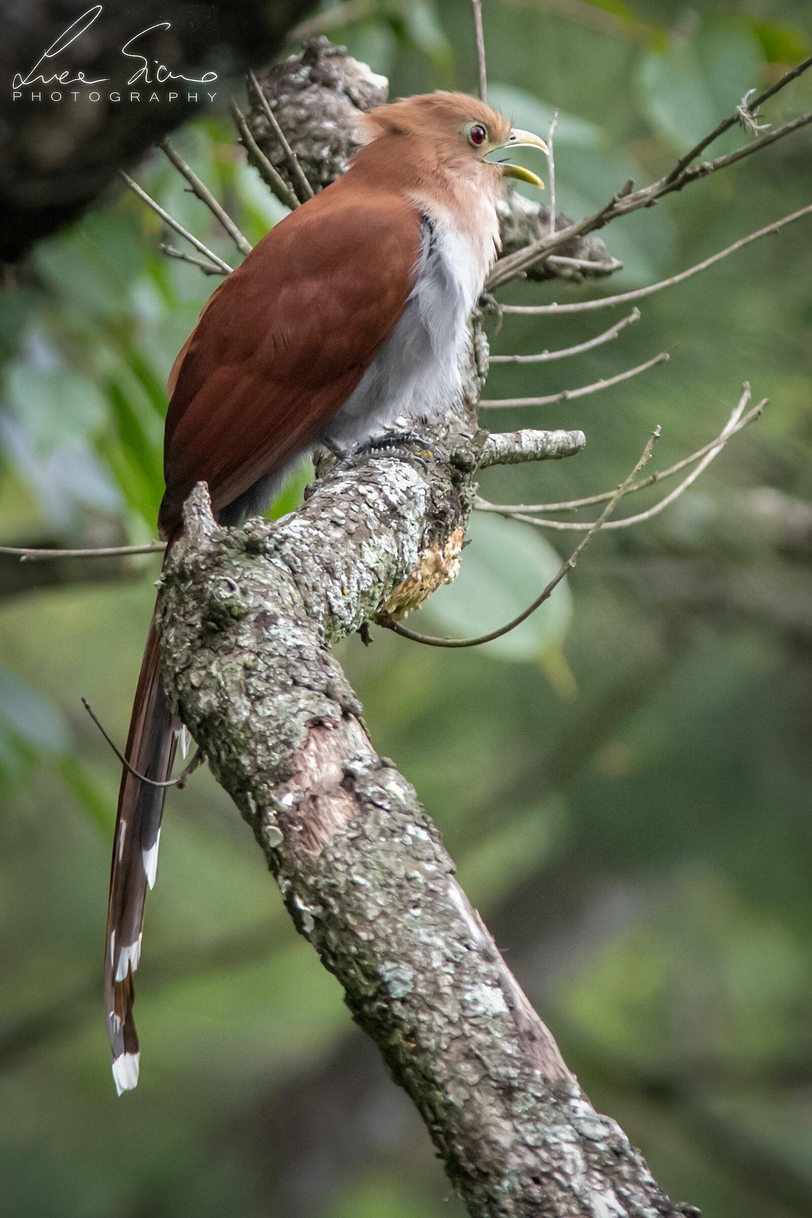 Piaya cayana or Squirrel Cuckoo...