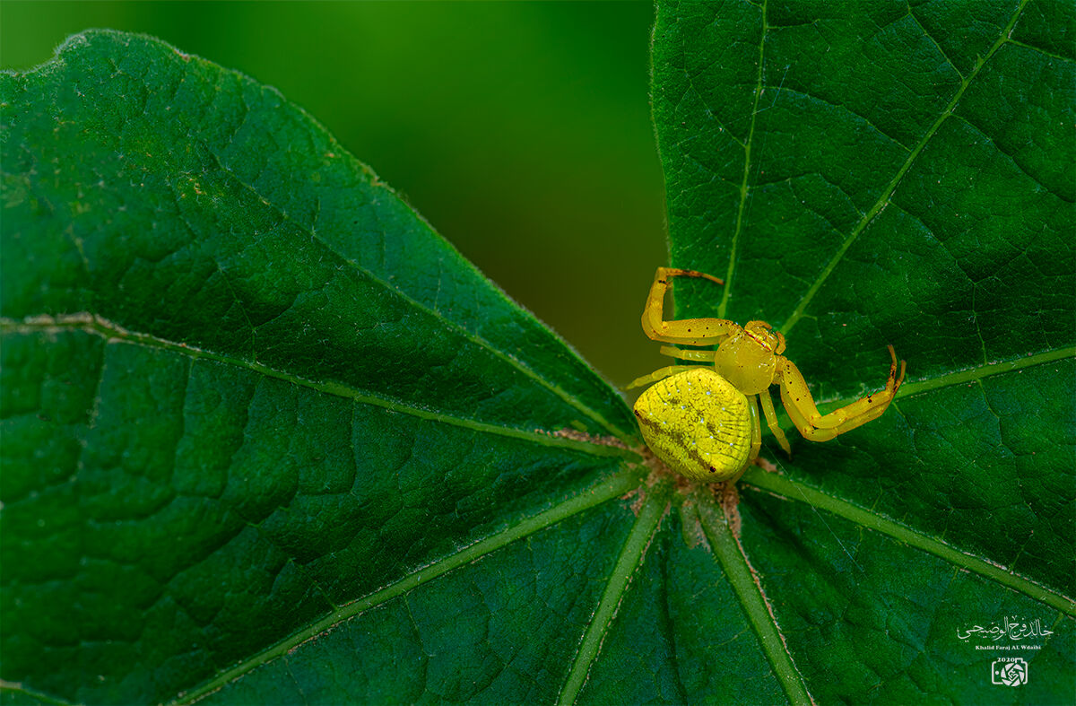 Crab Spider...