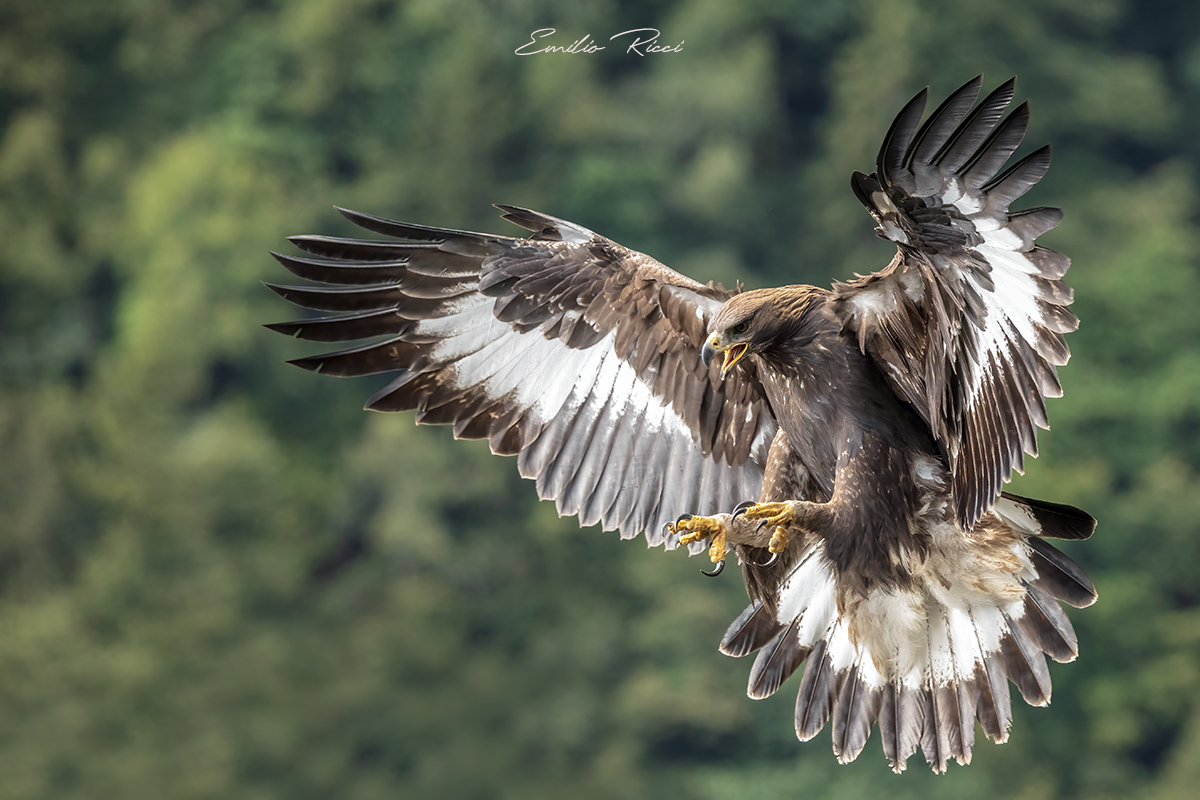 golden eagle -Italian Alps-...