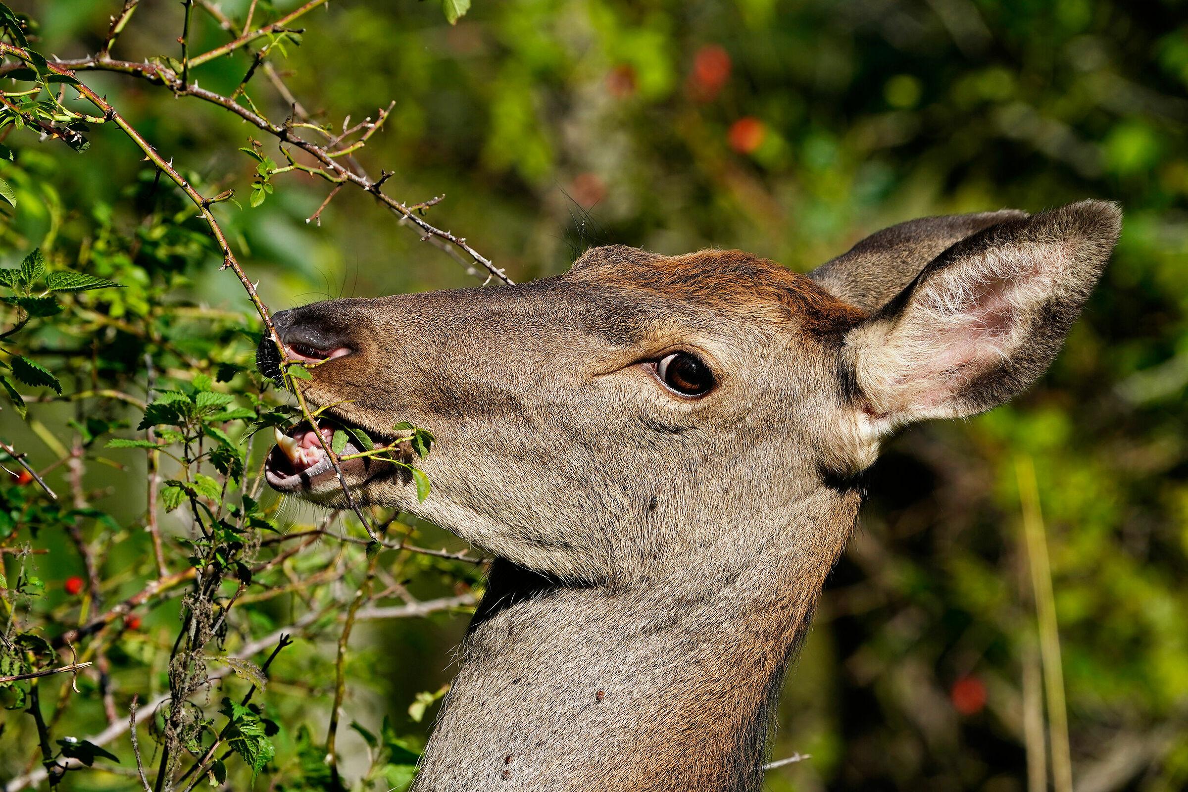 Noble deer...