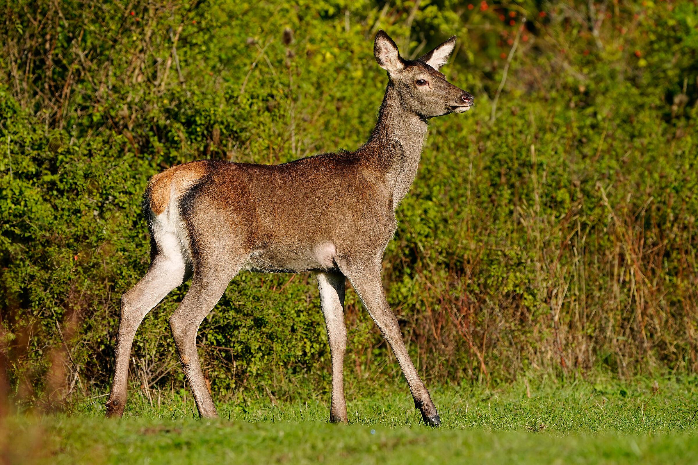 Noble deer juv....