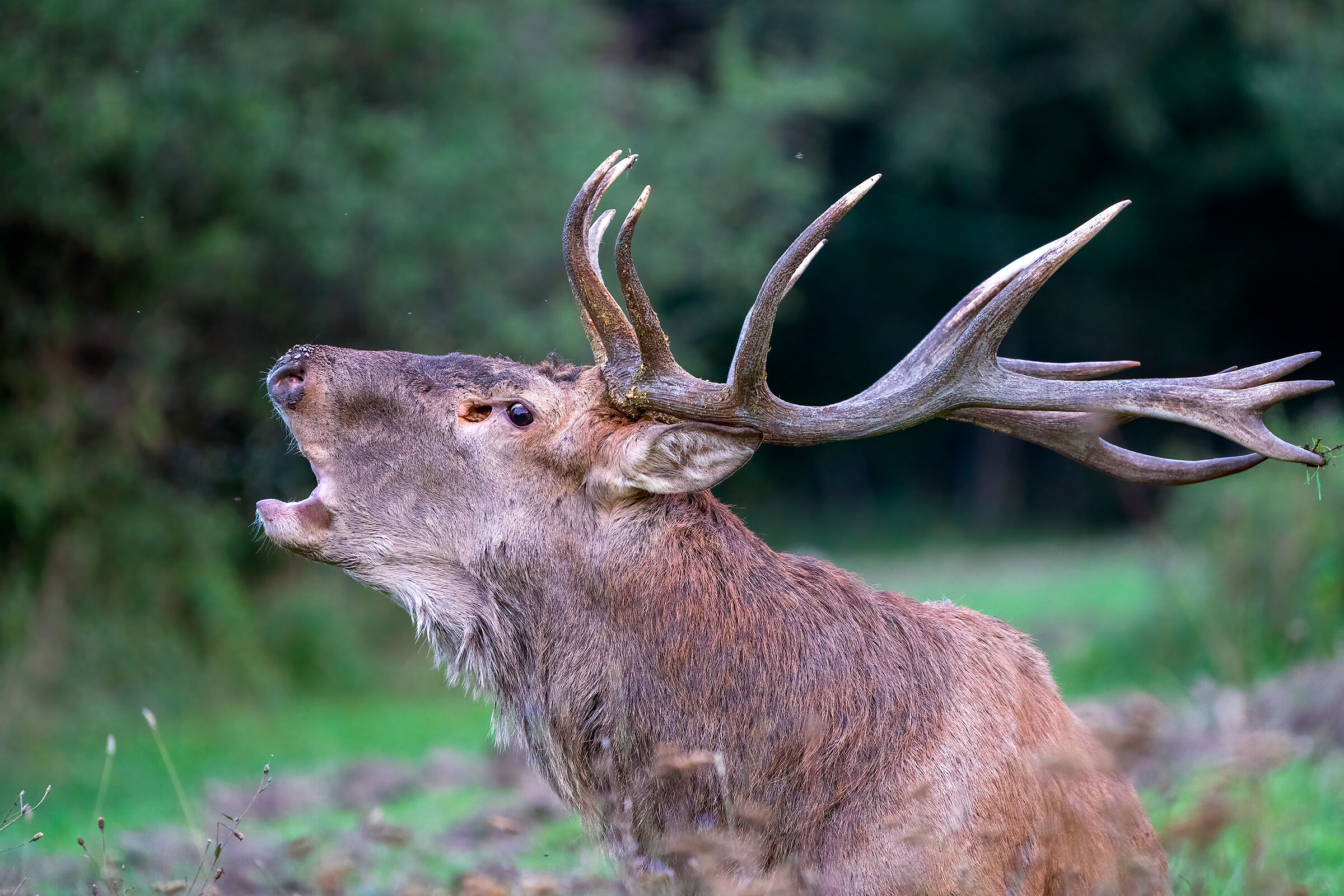 The Call of the Woods - Noble Deer...