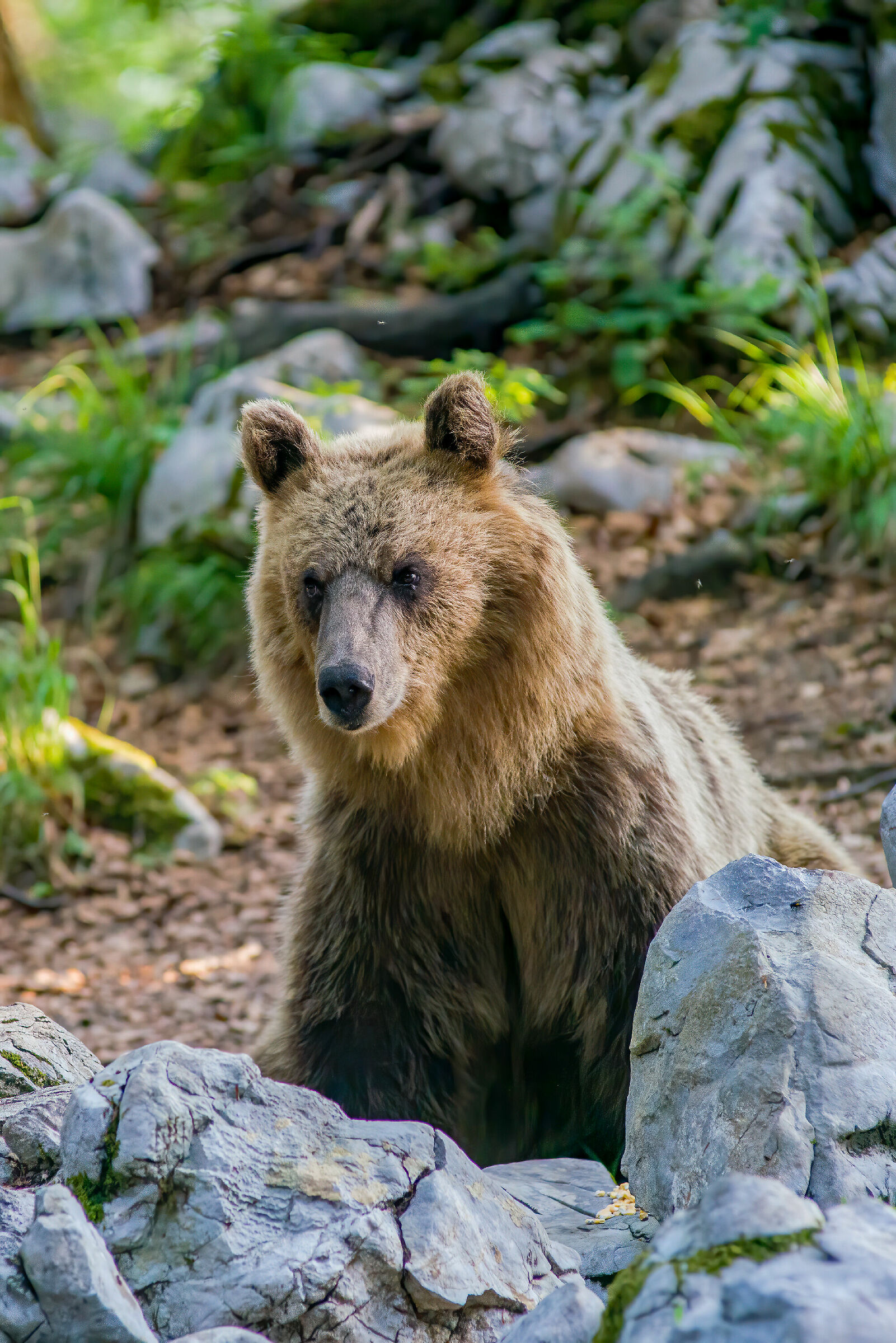 Slovenian Bear...