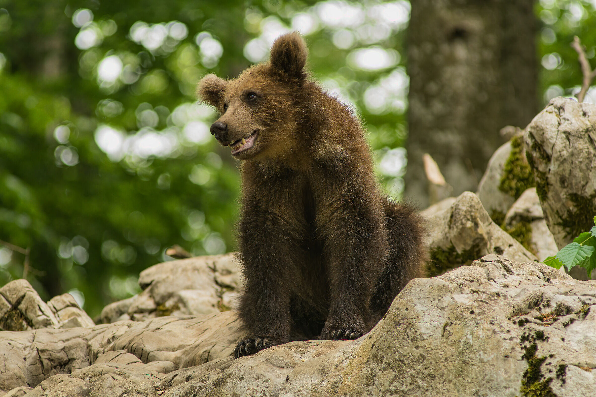 Young Bear...