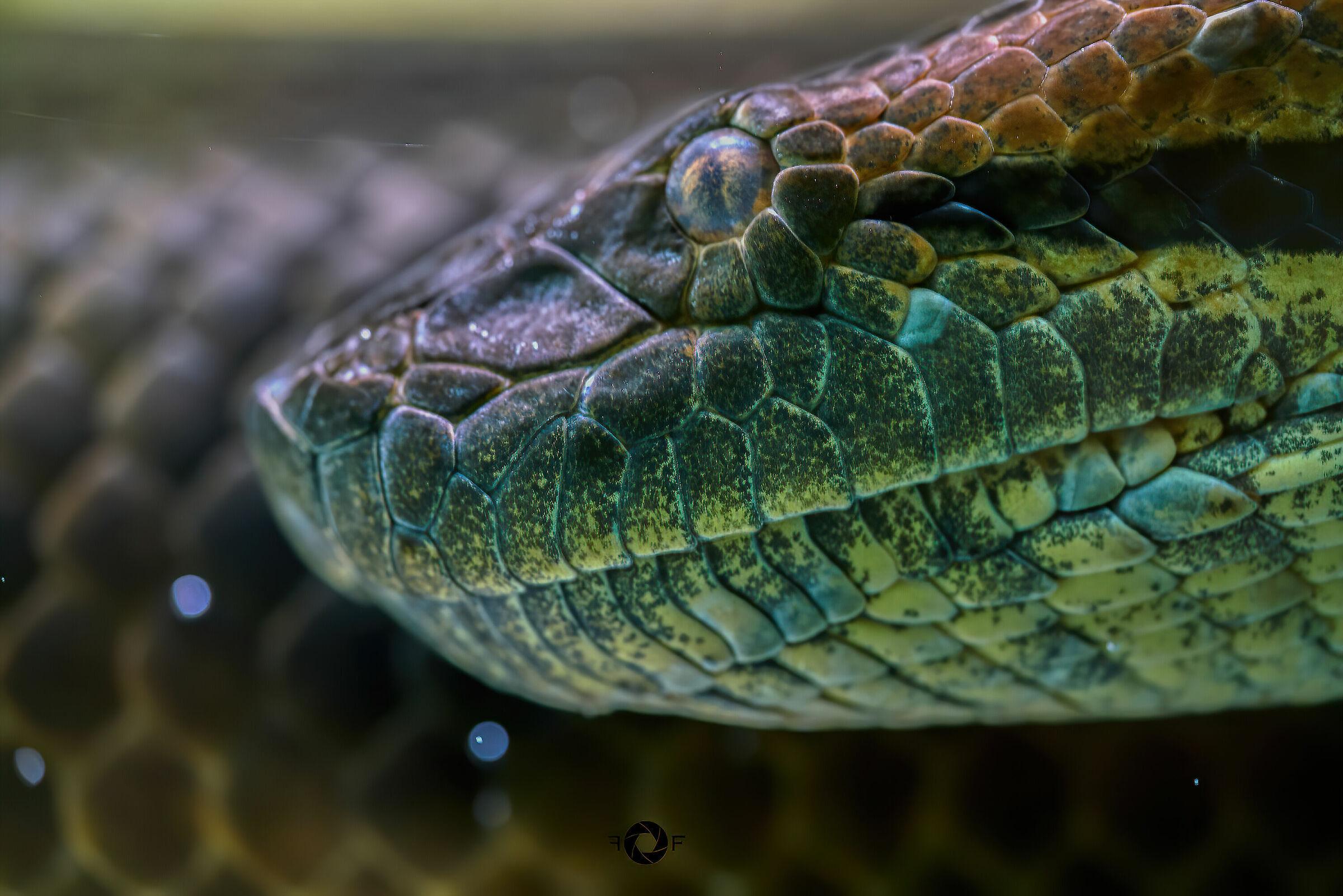 Anaconda...