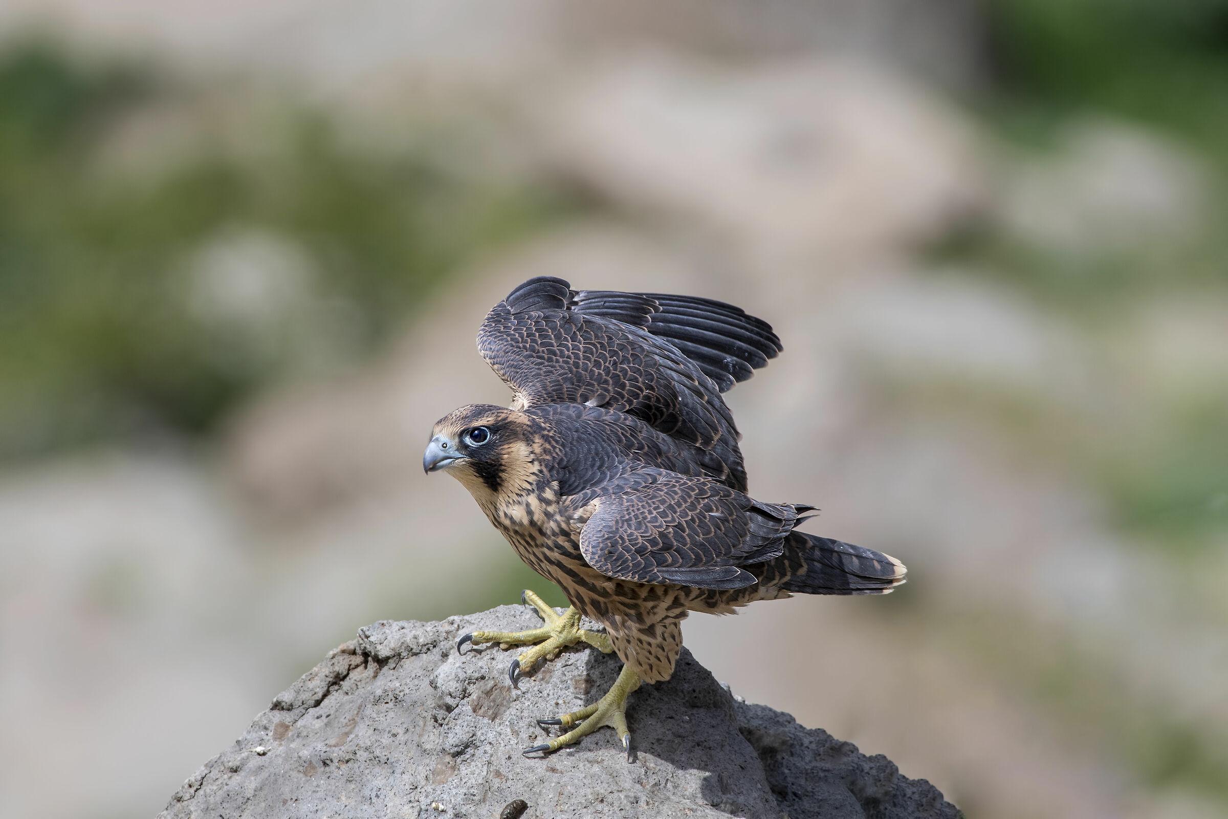 Gök doğan / Peregrine Falcon / Falco peregrinus...