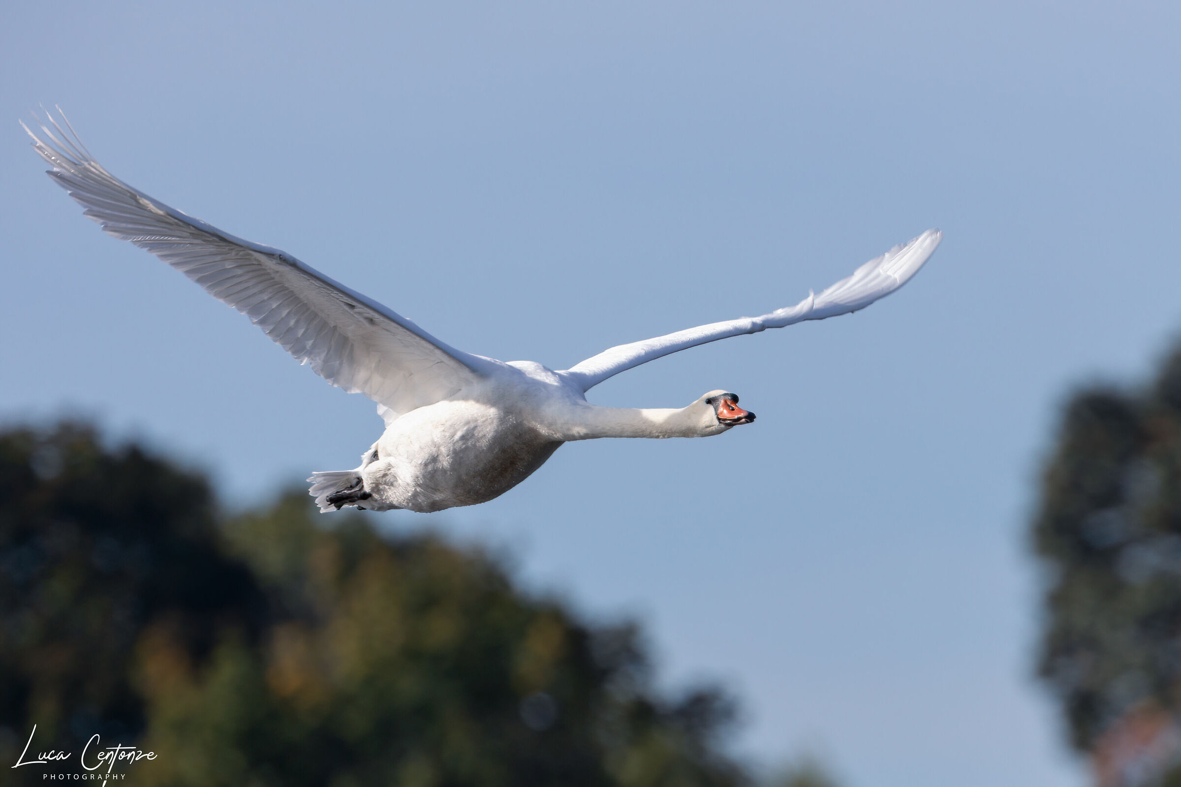 Swan Department (Cygnus) ...