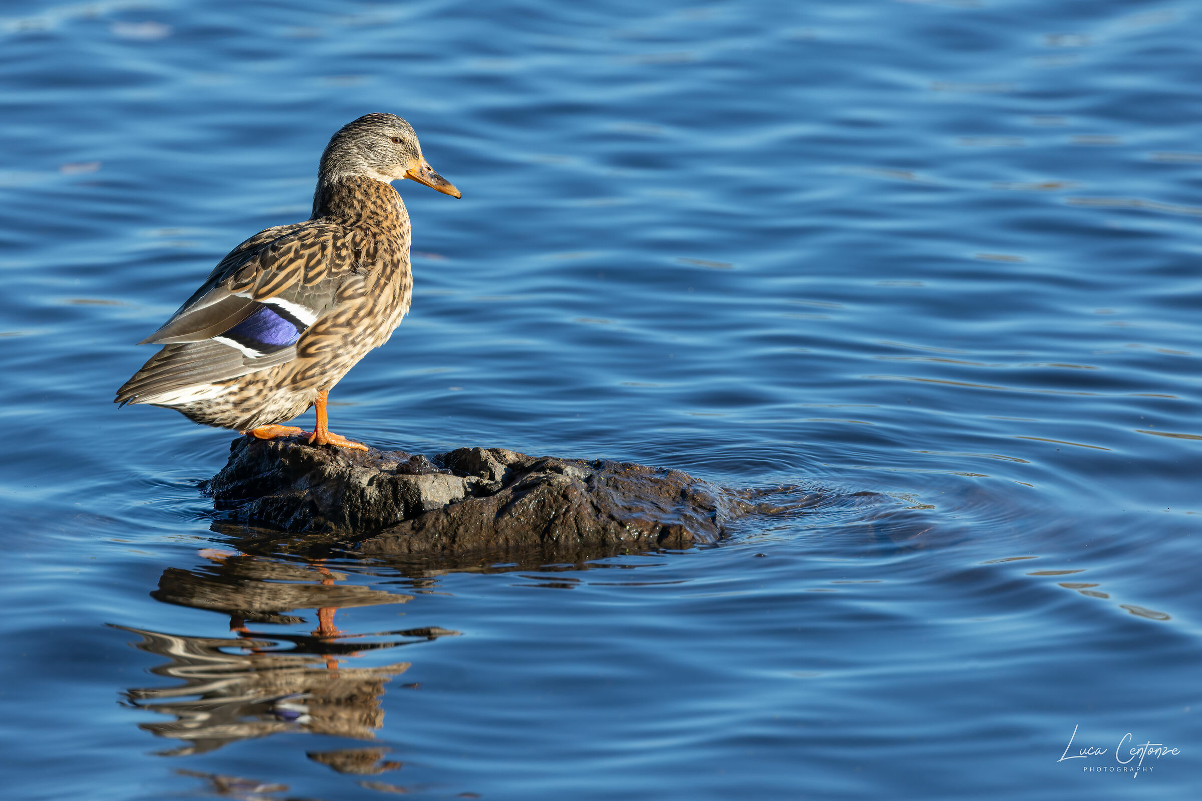 Mallard Duck (Anas platyrhynchos) Germanus Royalus...