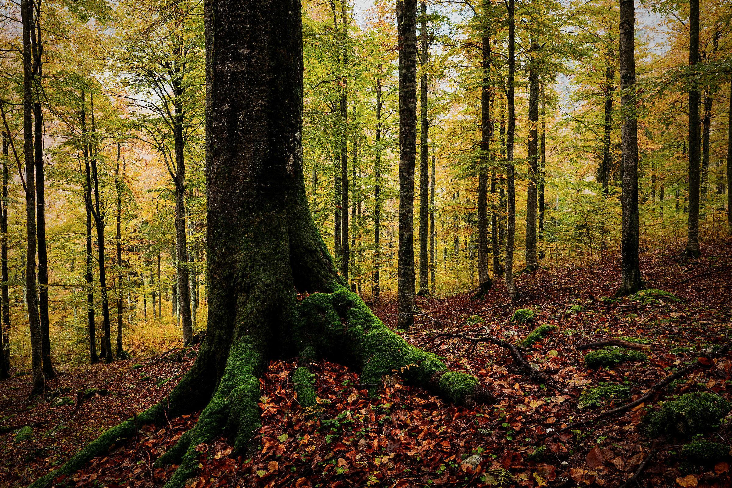 Foresta di Tarvisio - Alpi Giulie - Italy   JuzaPhoto