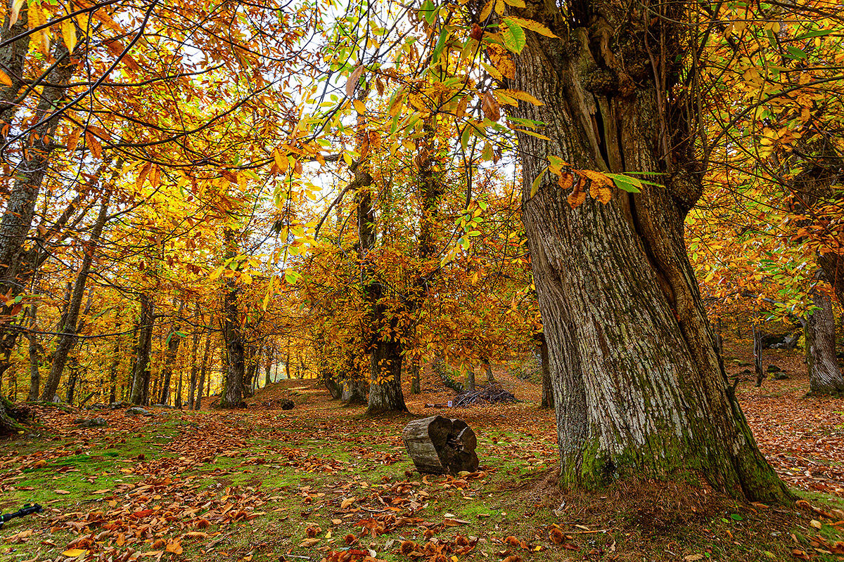 In the old chestnut grove ...