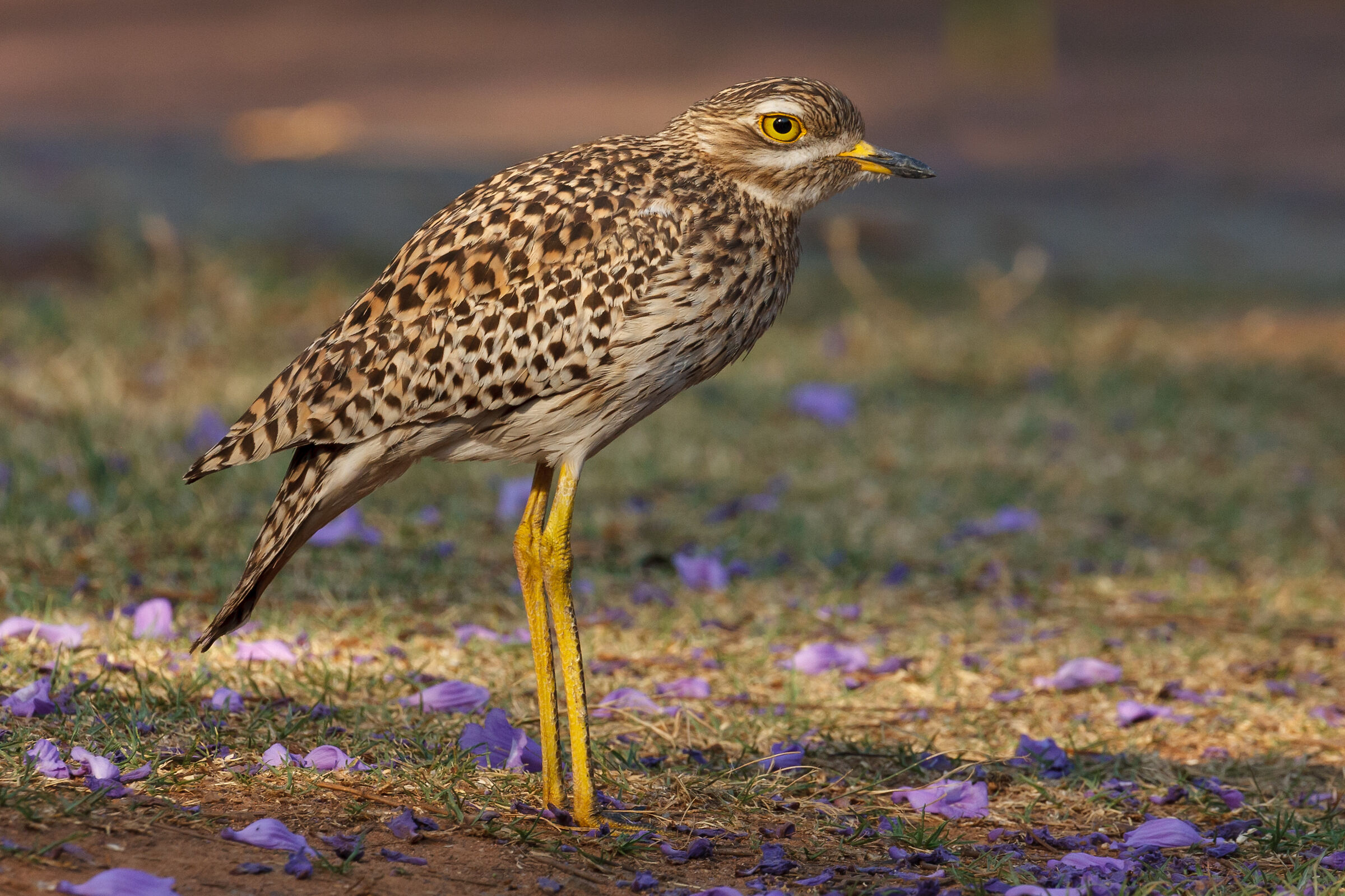 Thick knee...