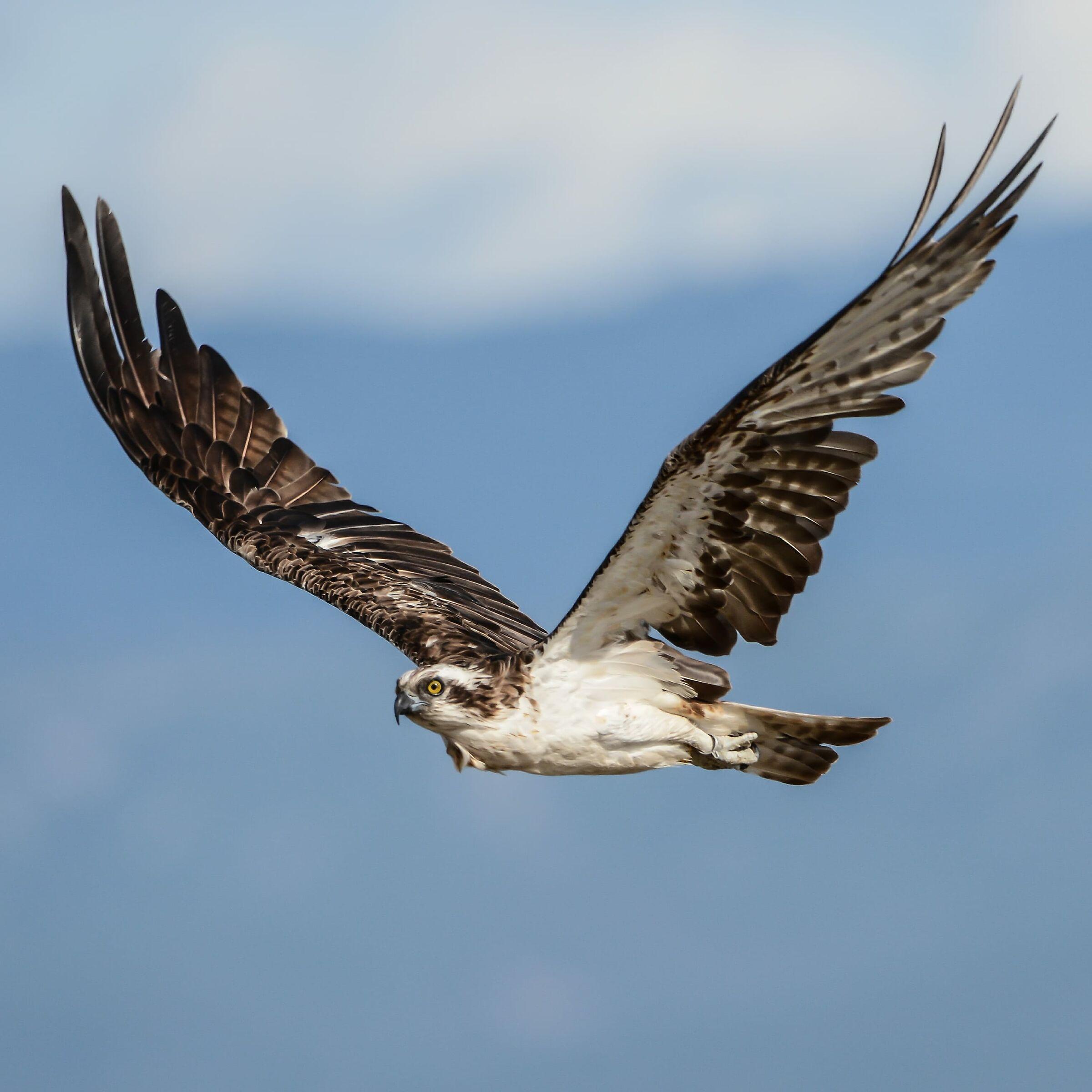 Osprey...