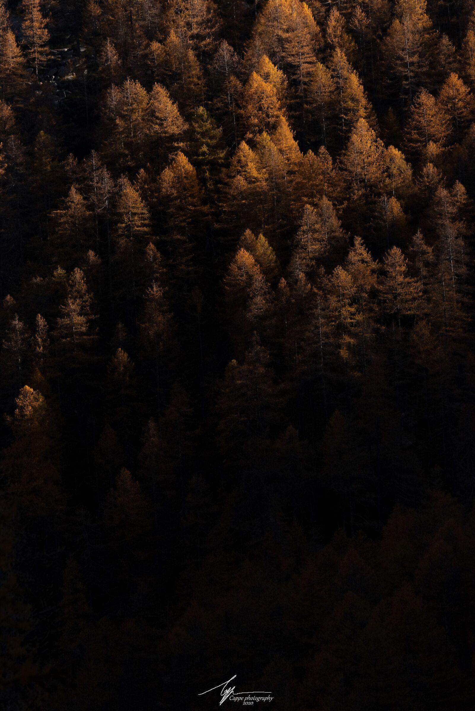 Golden Larches...