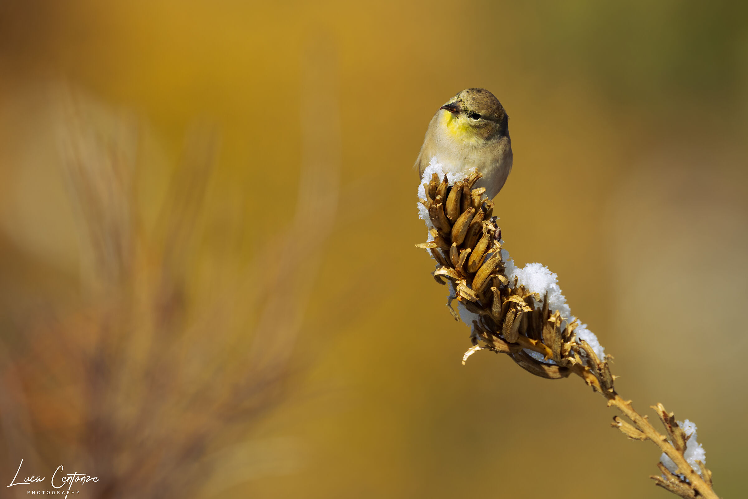 American Goldfinch (Spinus tristis)...