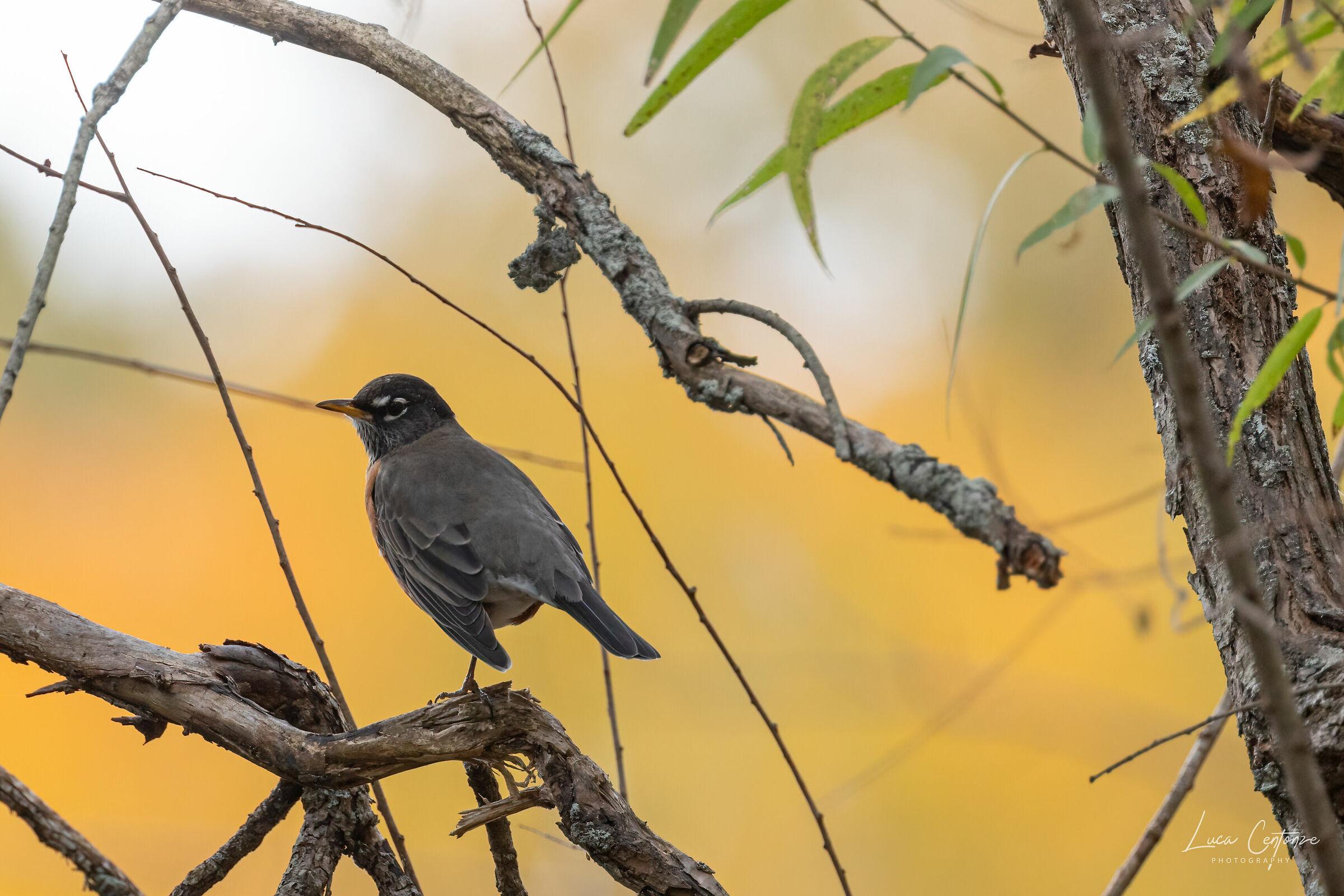 American Robin (Turdus migratorius)...