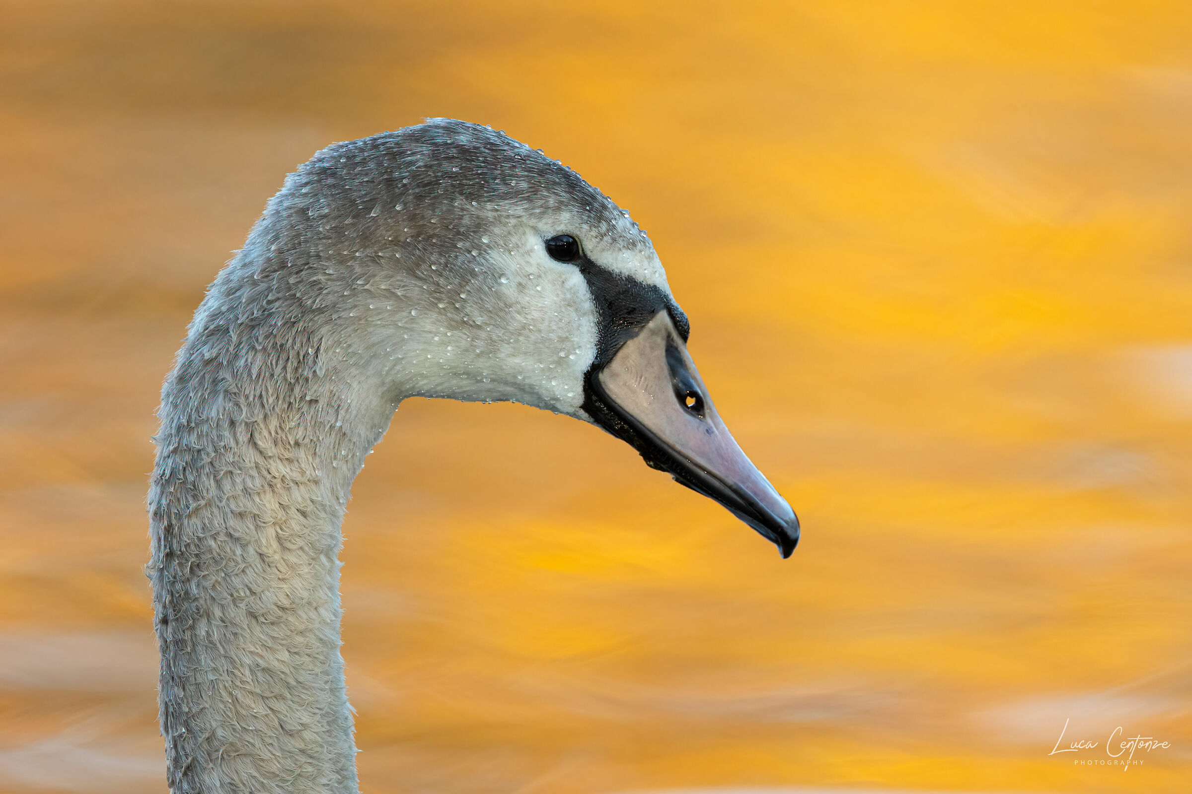 Close-up of young Swan ...
