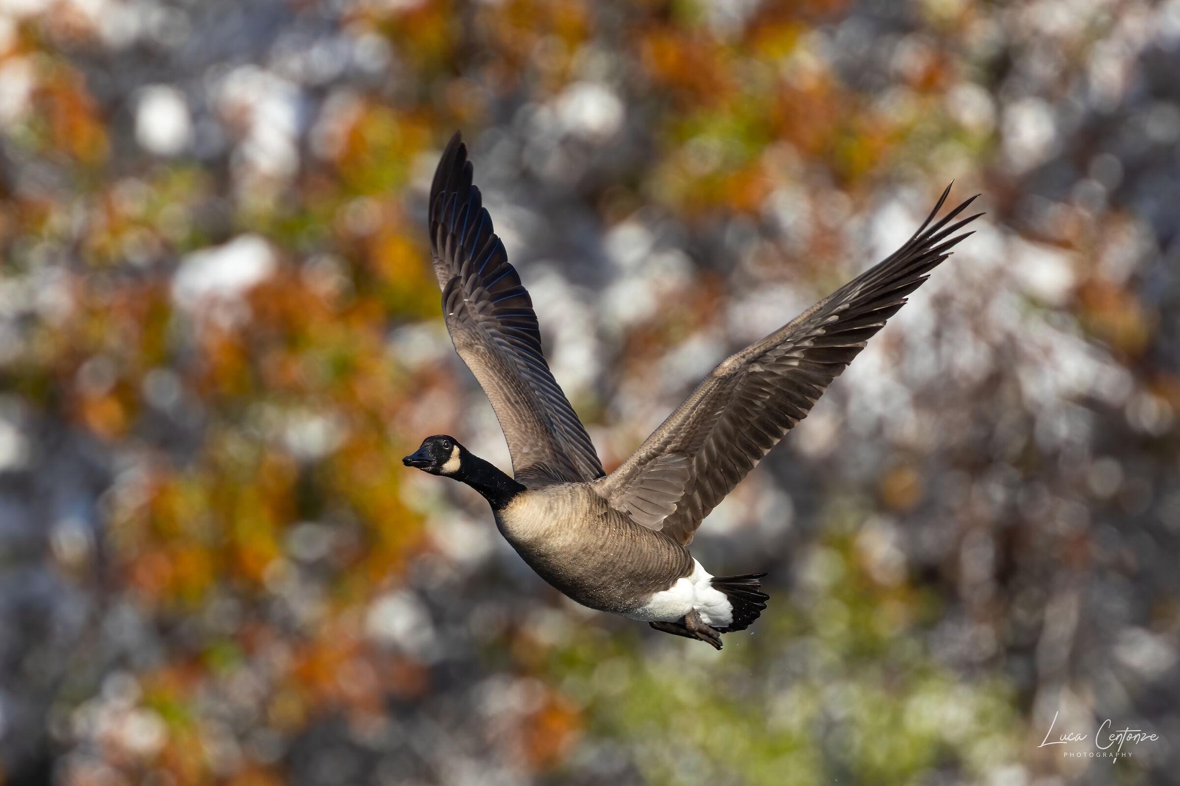 Canada Goose in Flight (Branta canadensis)...