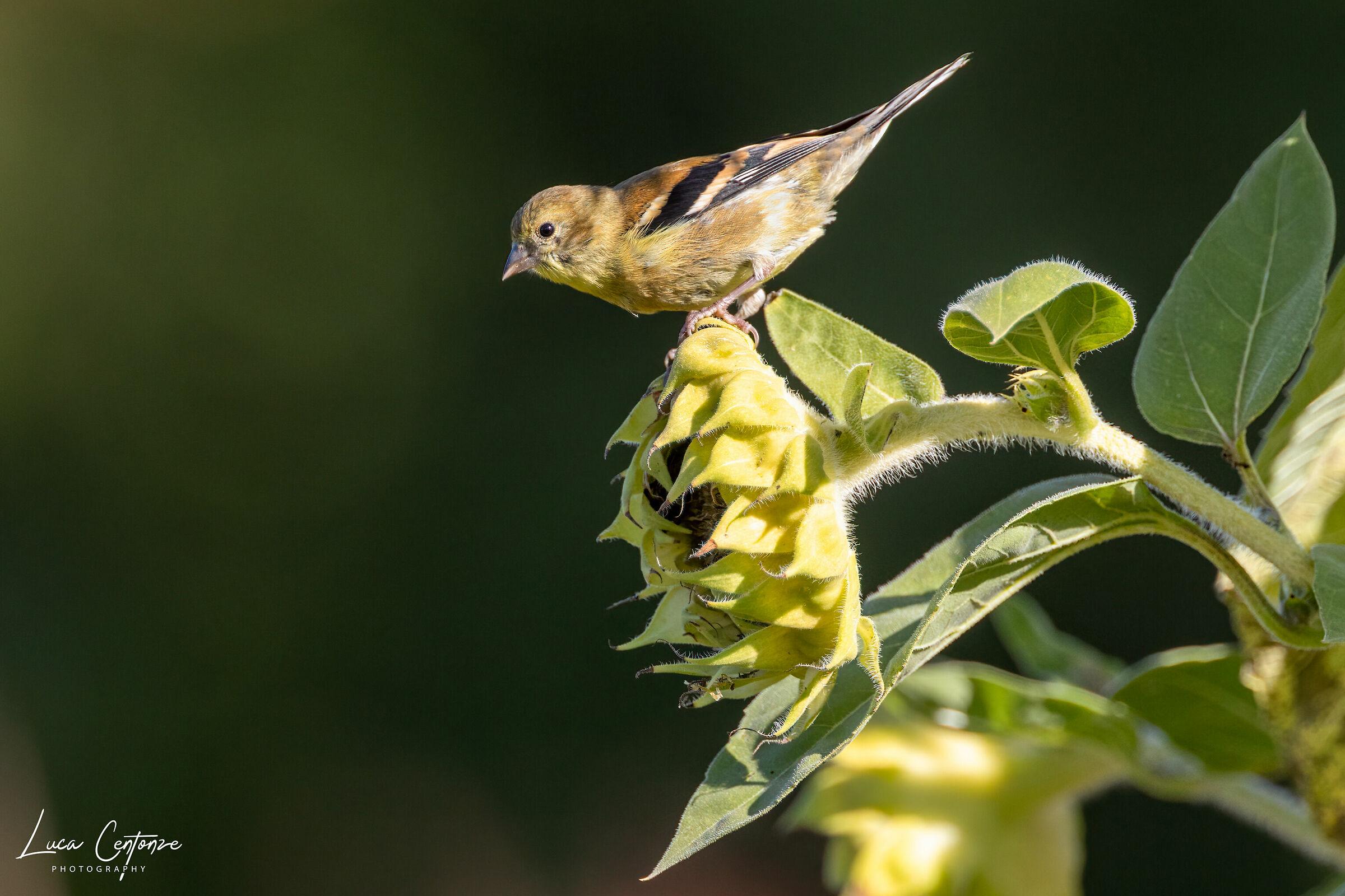 Gold Finch (Spinus tristis) American lucherino...