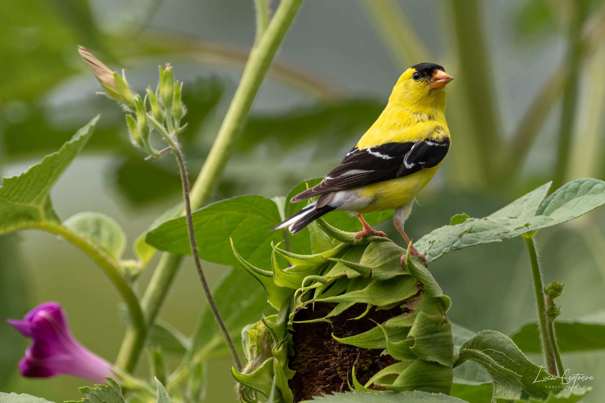 Gold Finch male in summer livery ...