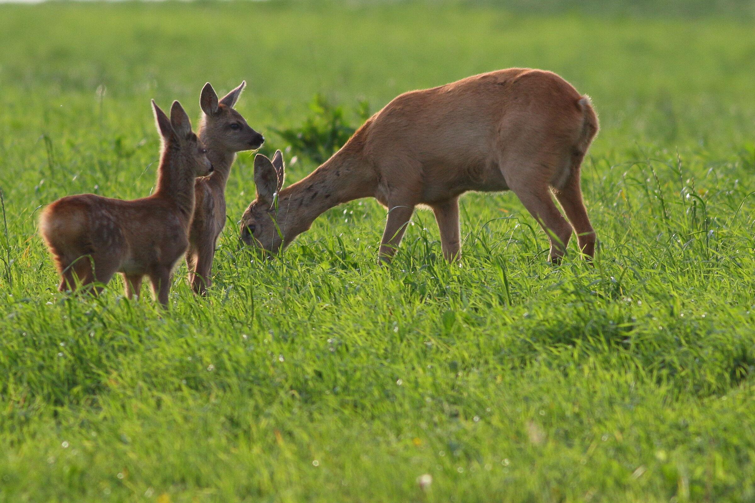 roe-deer...