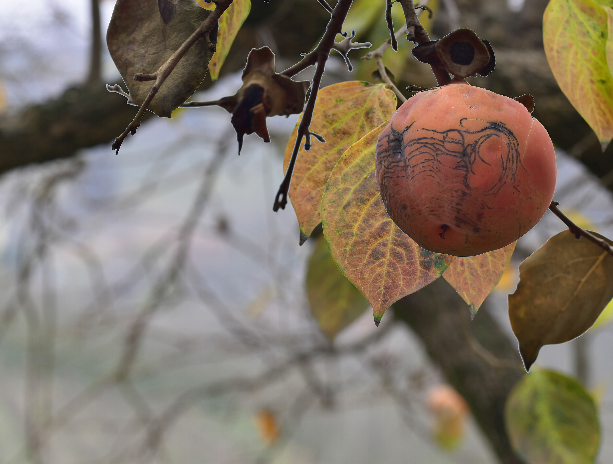 Persimmon Trilogy - 1...