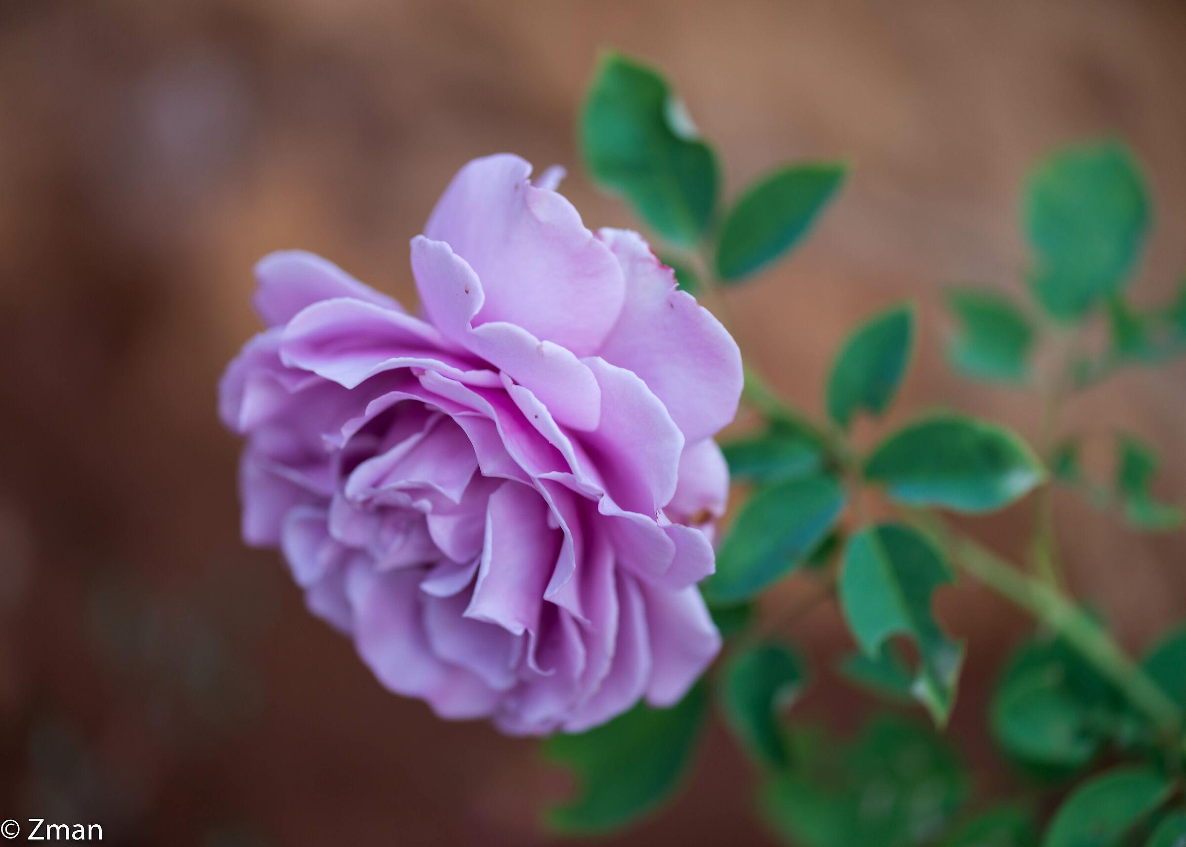 Violet Rose...