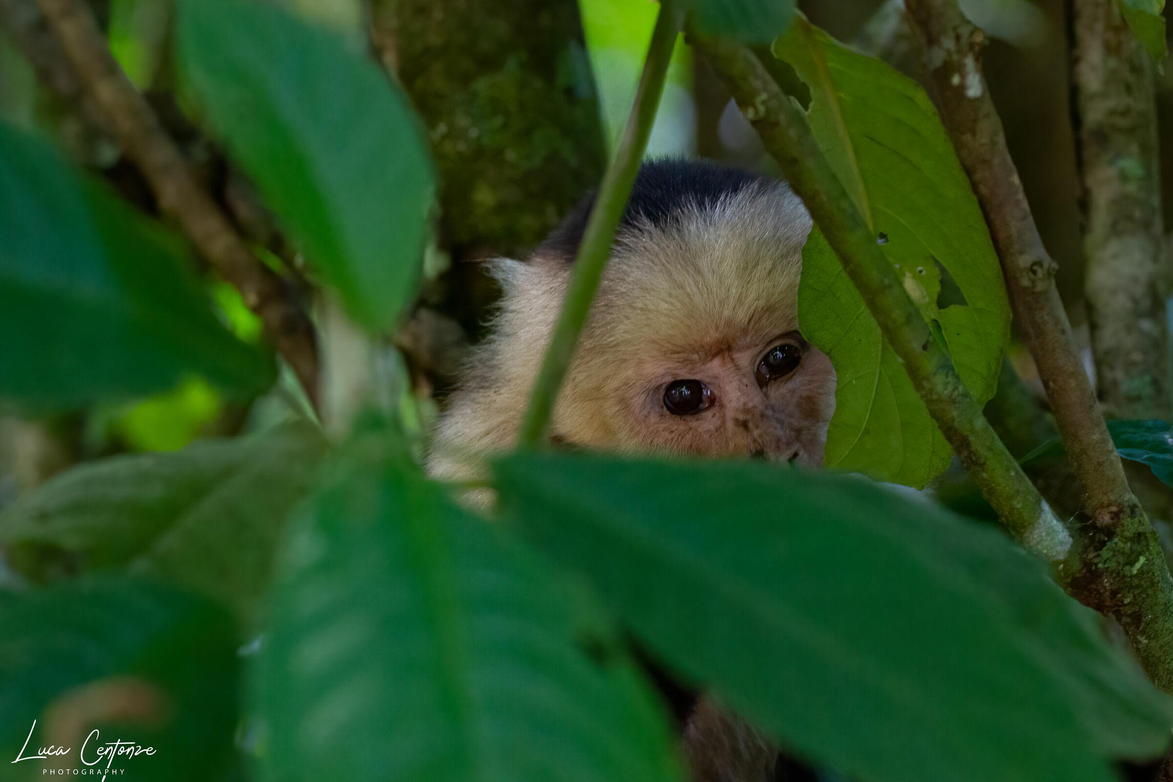 Capuchin Monkey...