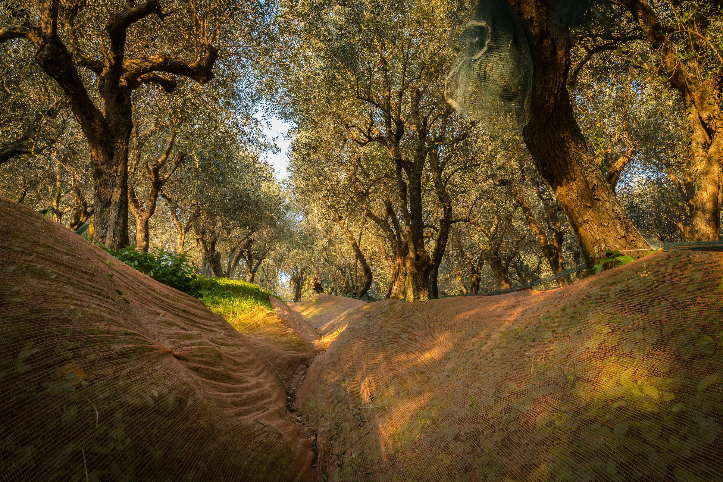 """""""The olive grove""""..."""