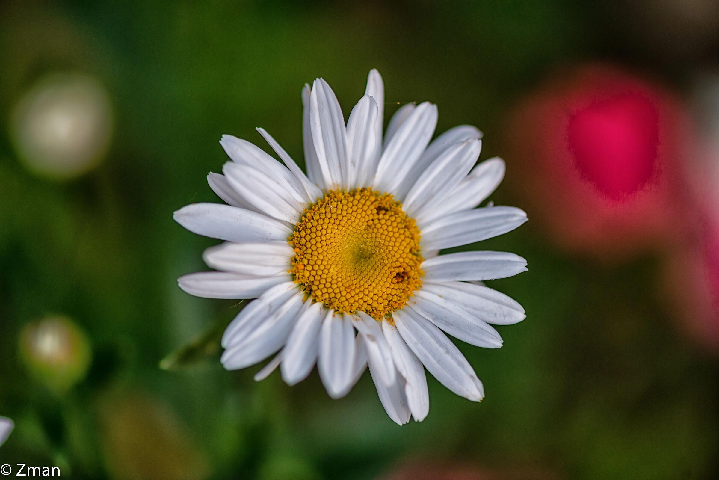 Oxeye Daisy Flowers...