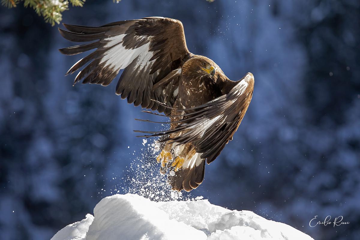 golden eagle -Italian Alps-...