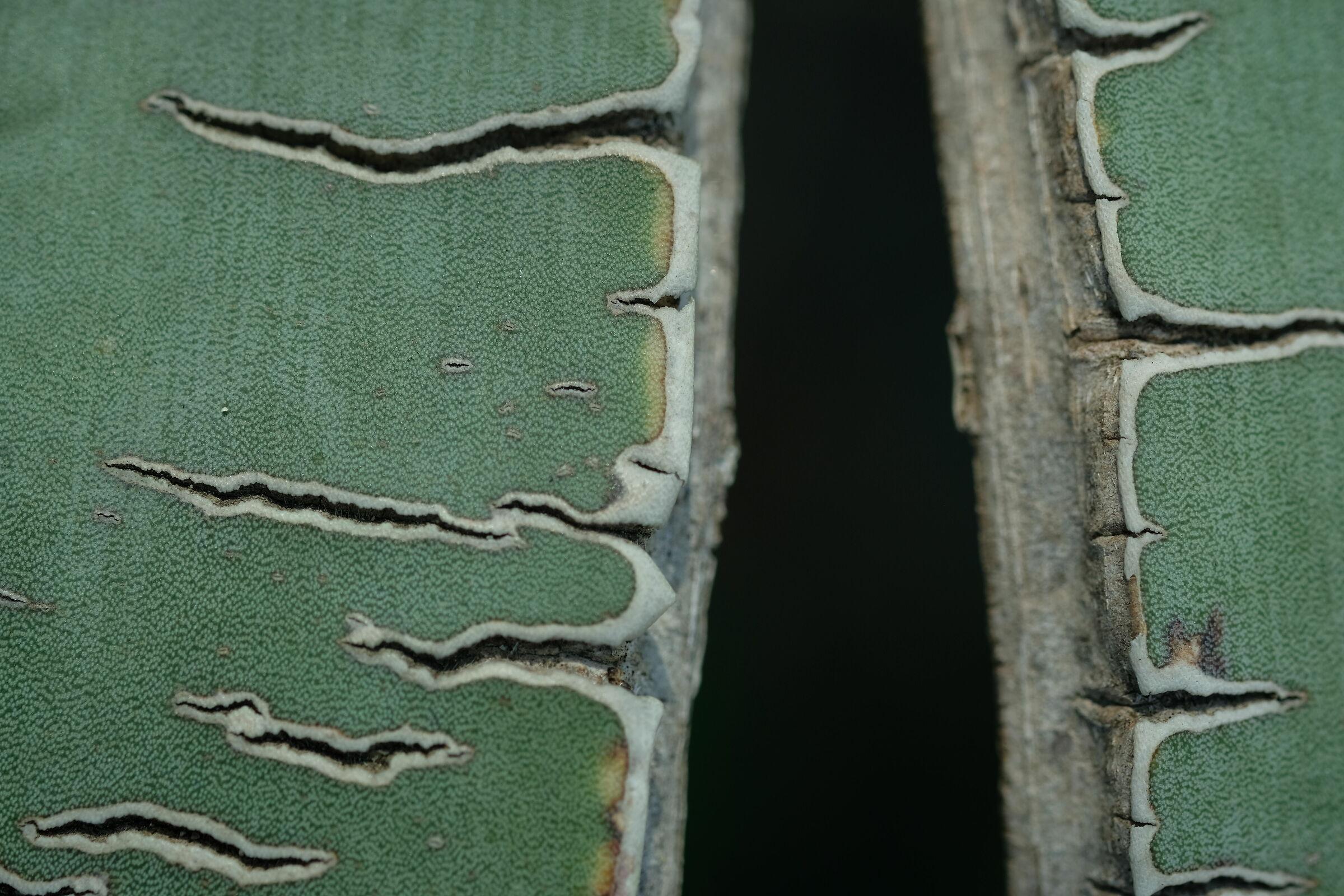 agave...