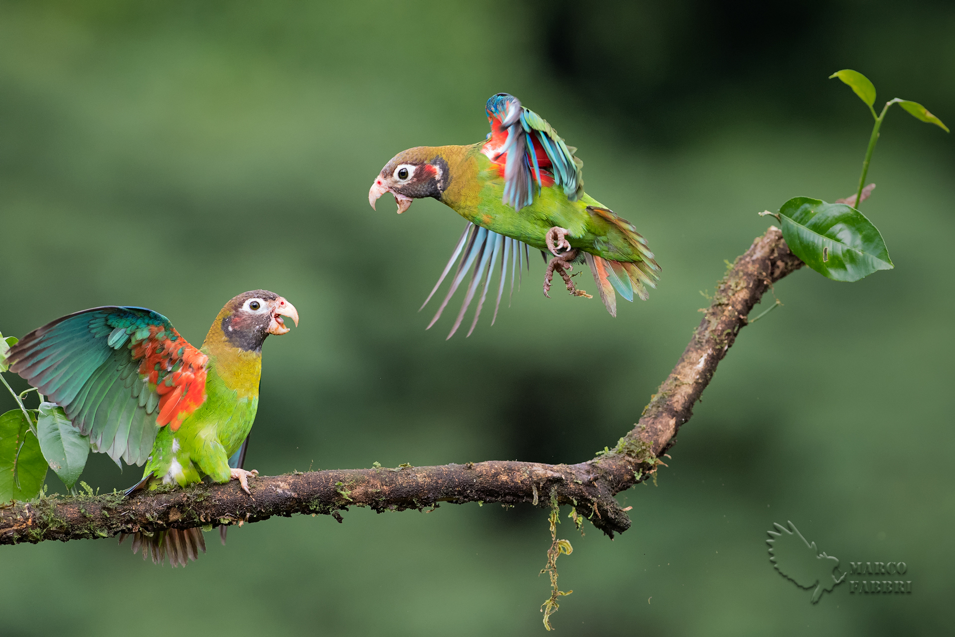 Parrot Fighting...