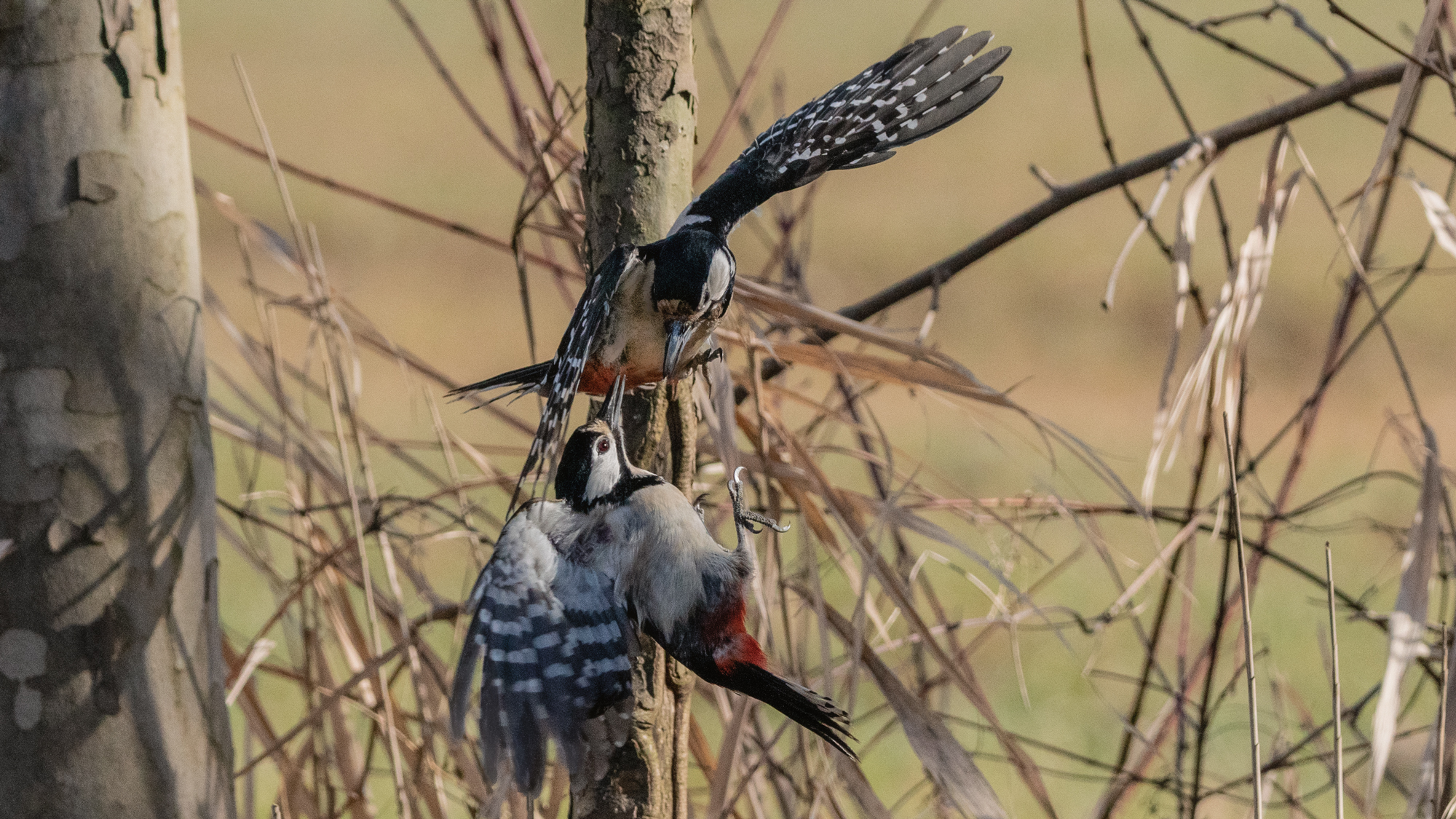 Red Woodpeckers...