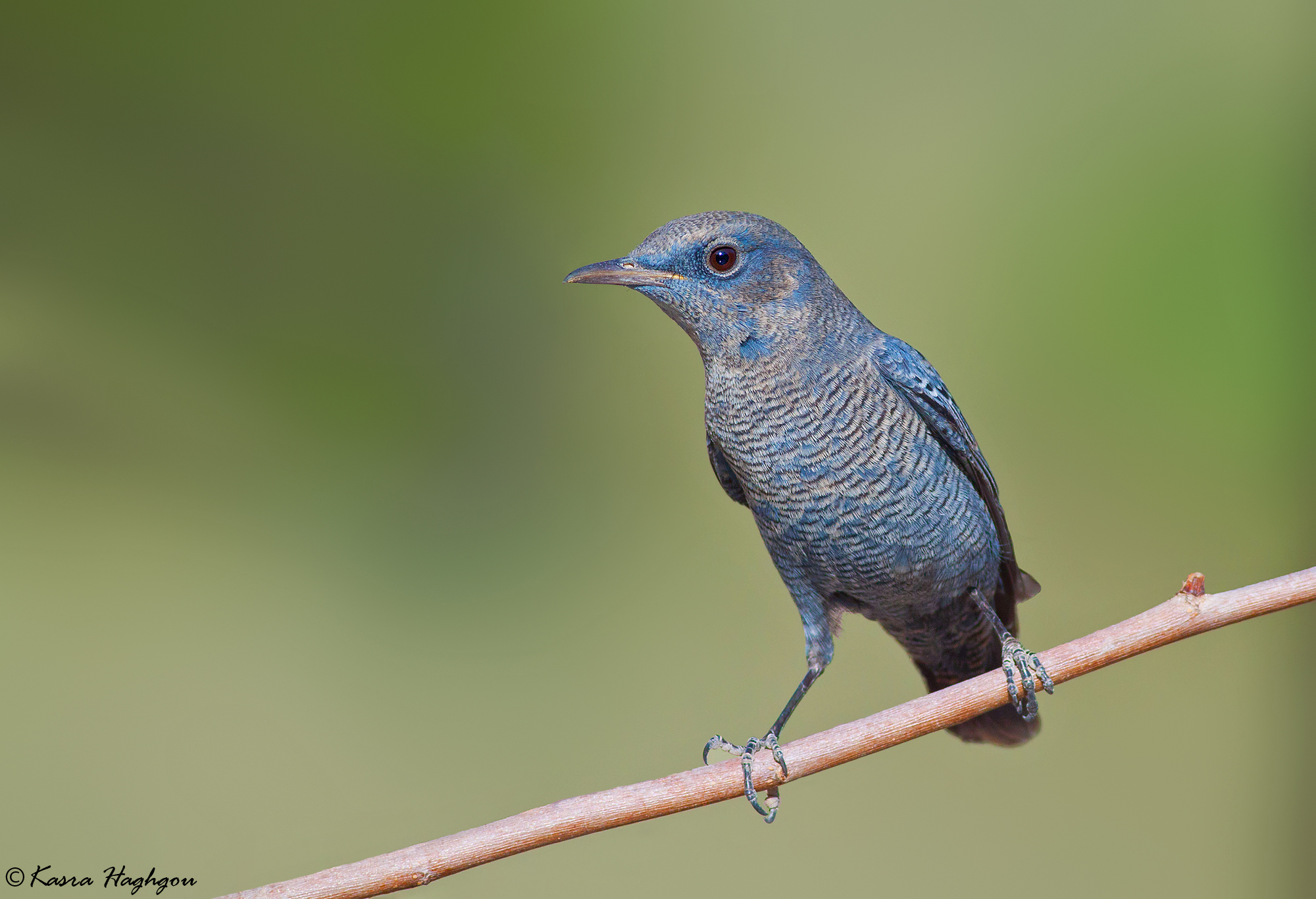 Blue Rock Thrush...