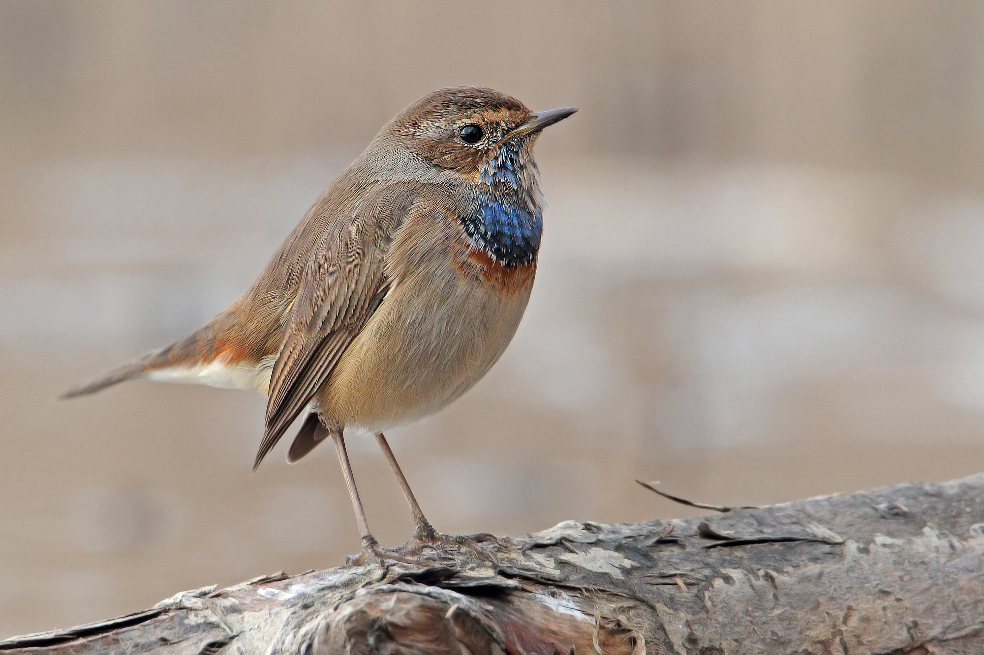 Bluethroat...