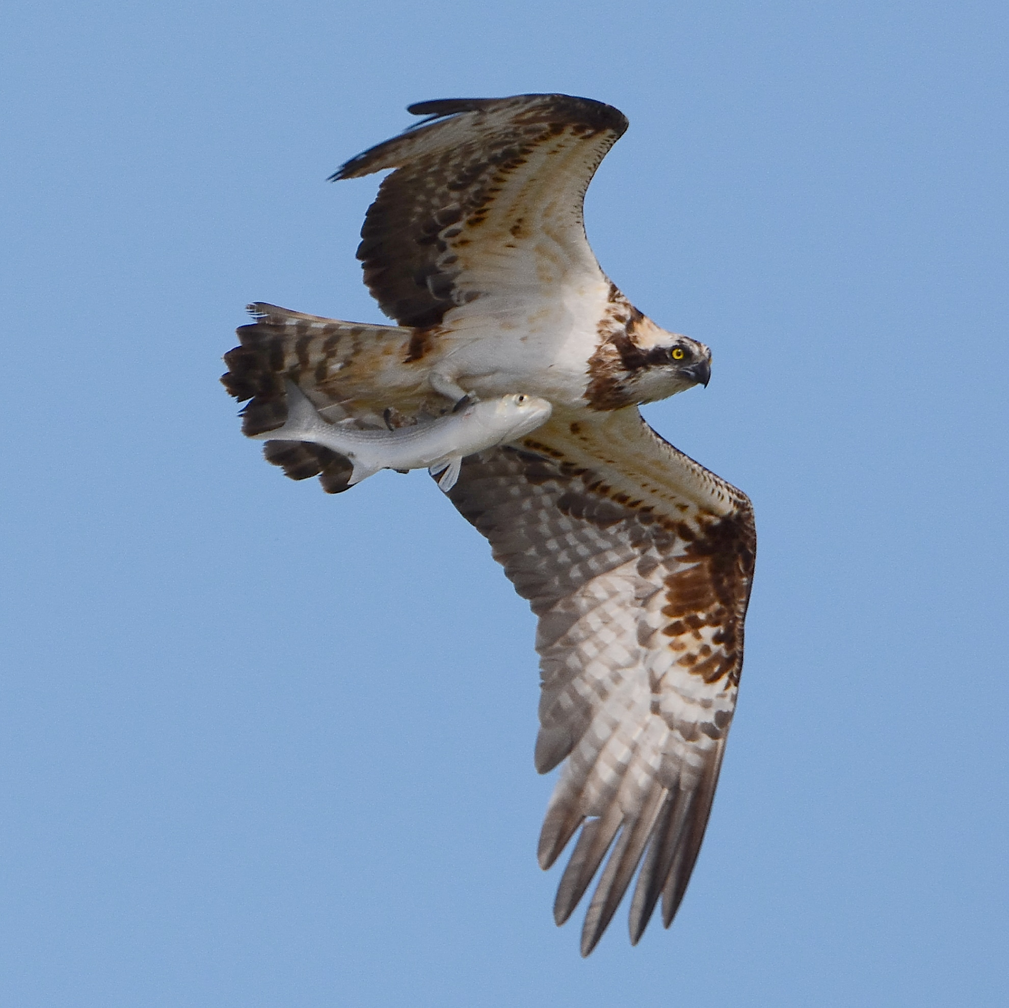 Osprey with Prey...