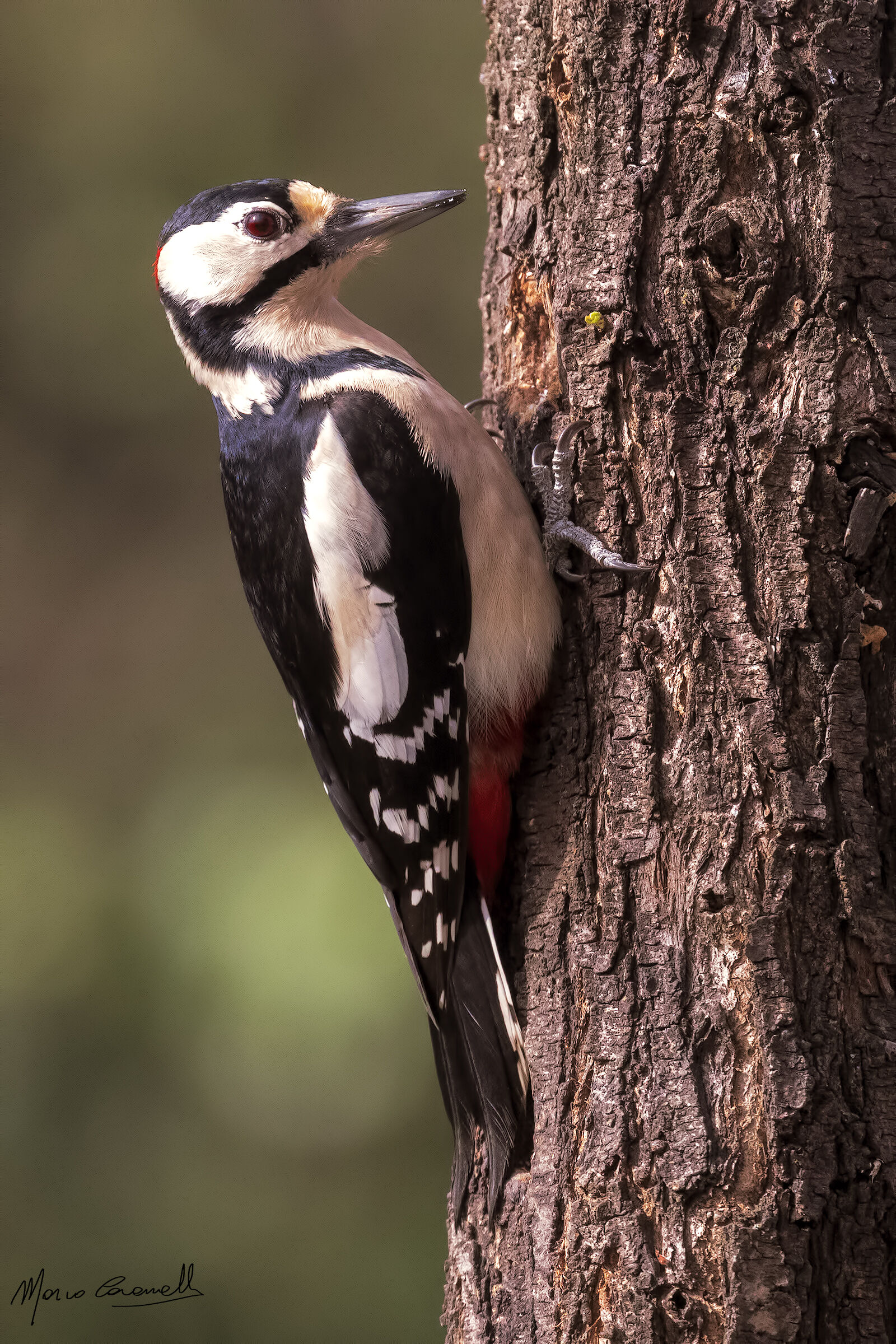 Senior Red Woodpeckers...