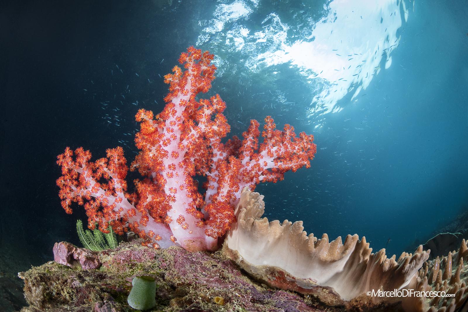 Soft Coral in Triton Bay...