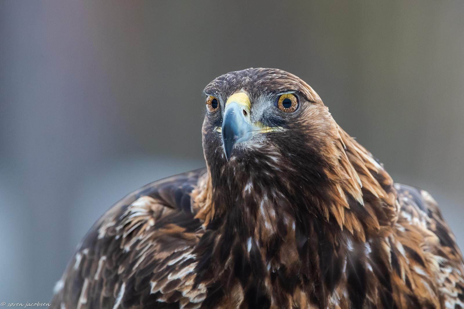 Potrait of a Golden Eagle...