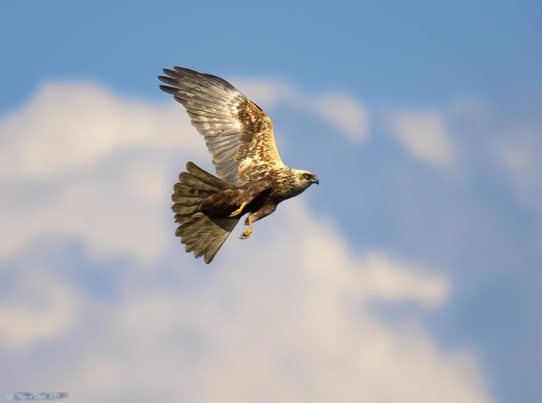 Falco di palude...